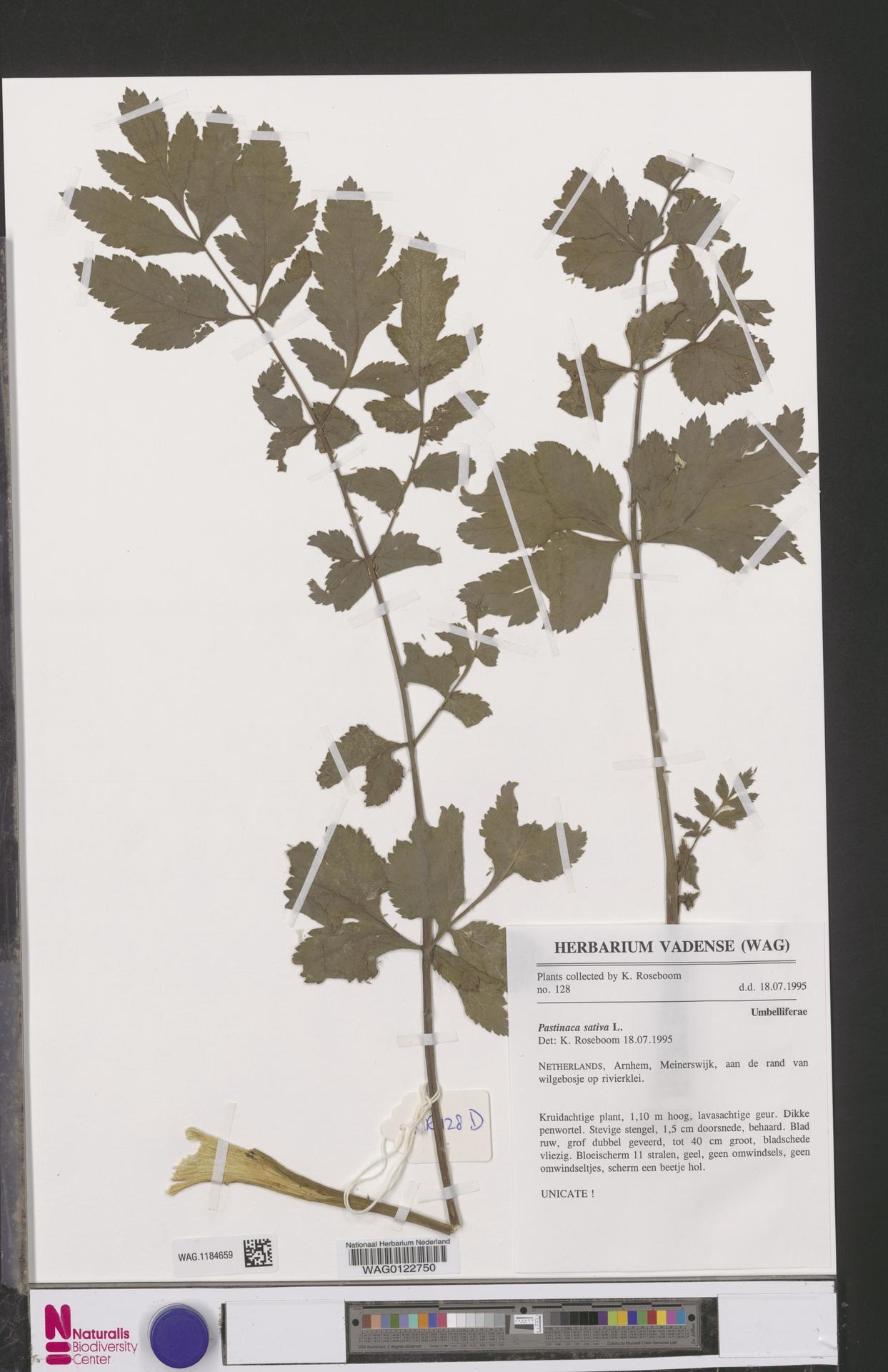 WAG.1184659 | Pastinaca sativa L.