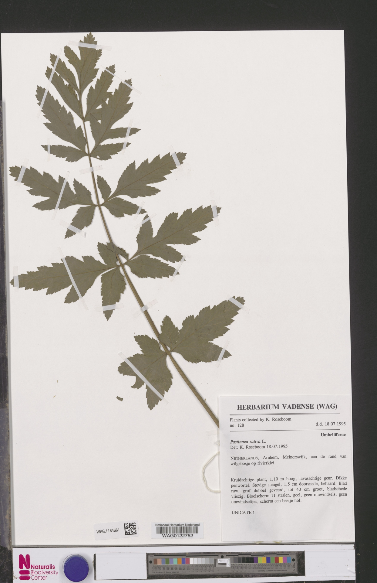 WAG.1184661   Pastinaca sativa L.