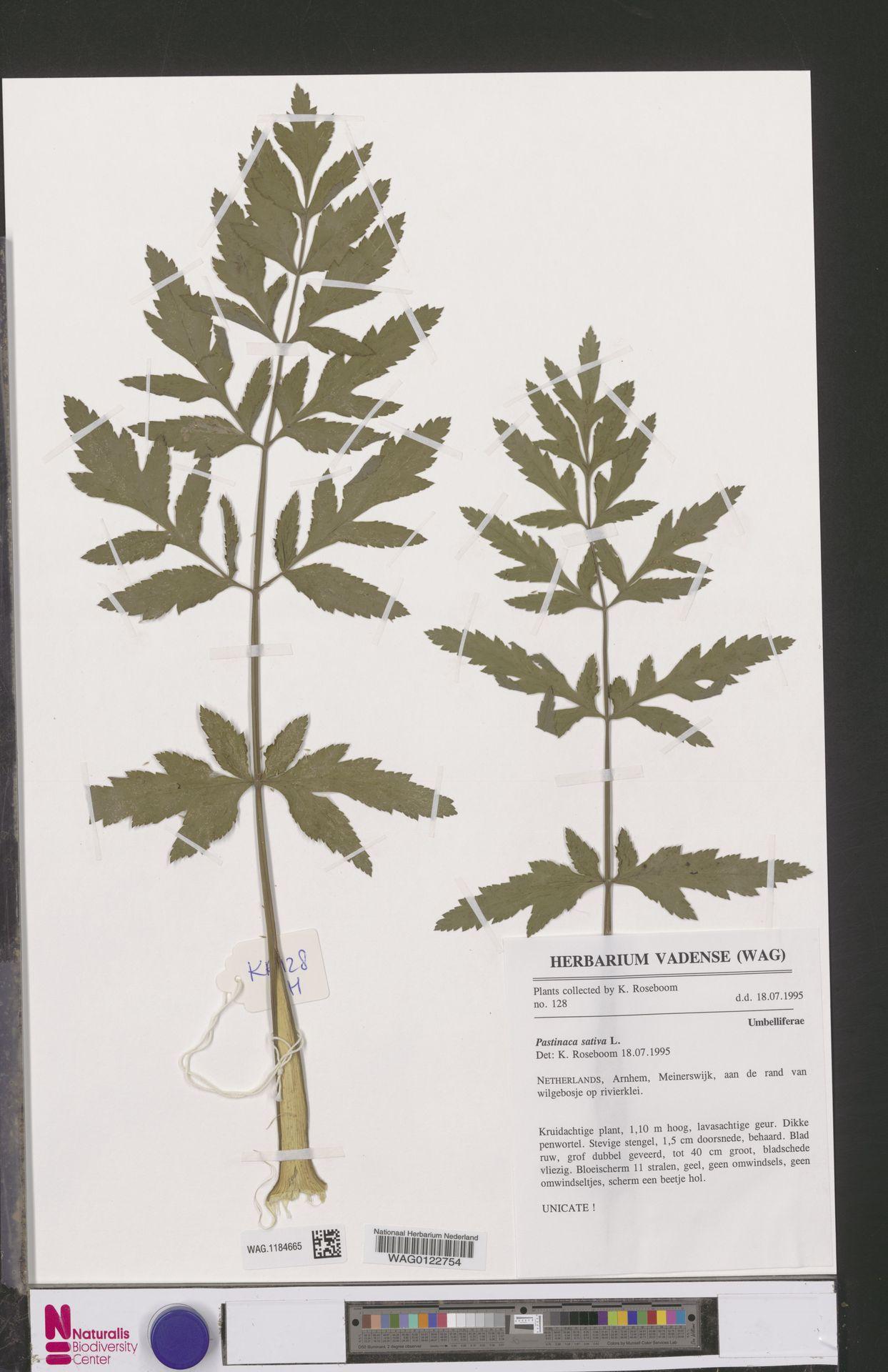WAG.1184665   Pastinaca sativa L.
