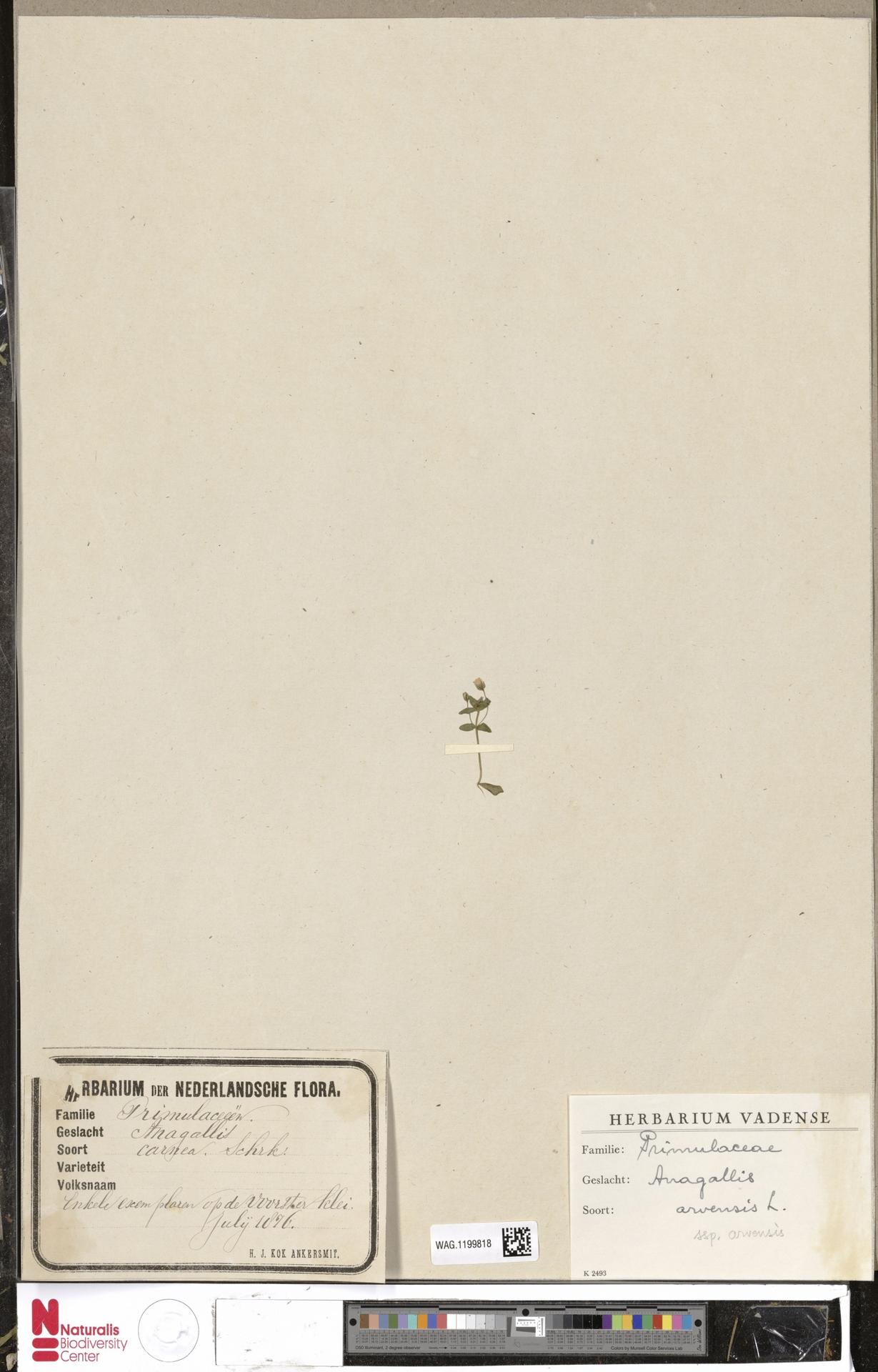 WAG.1199818 | Anagallis arvensis L.