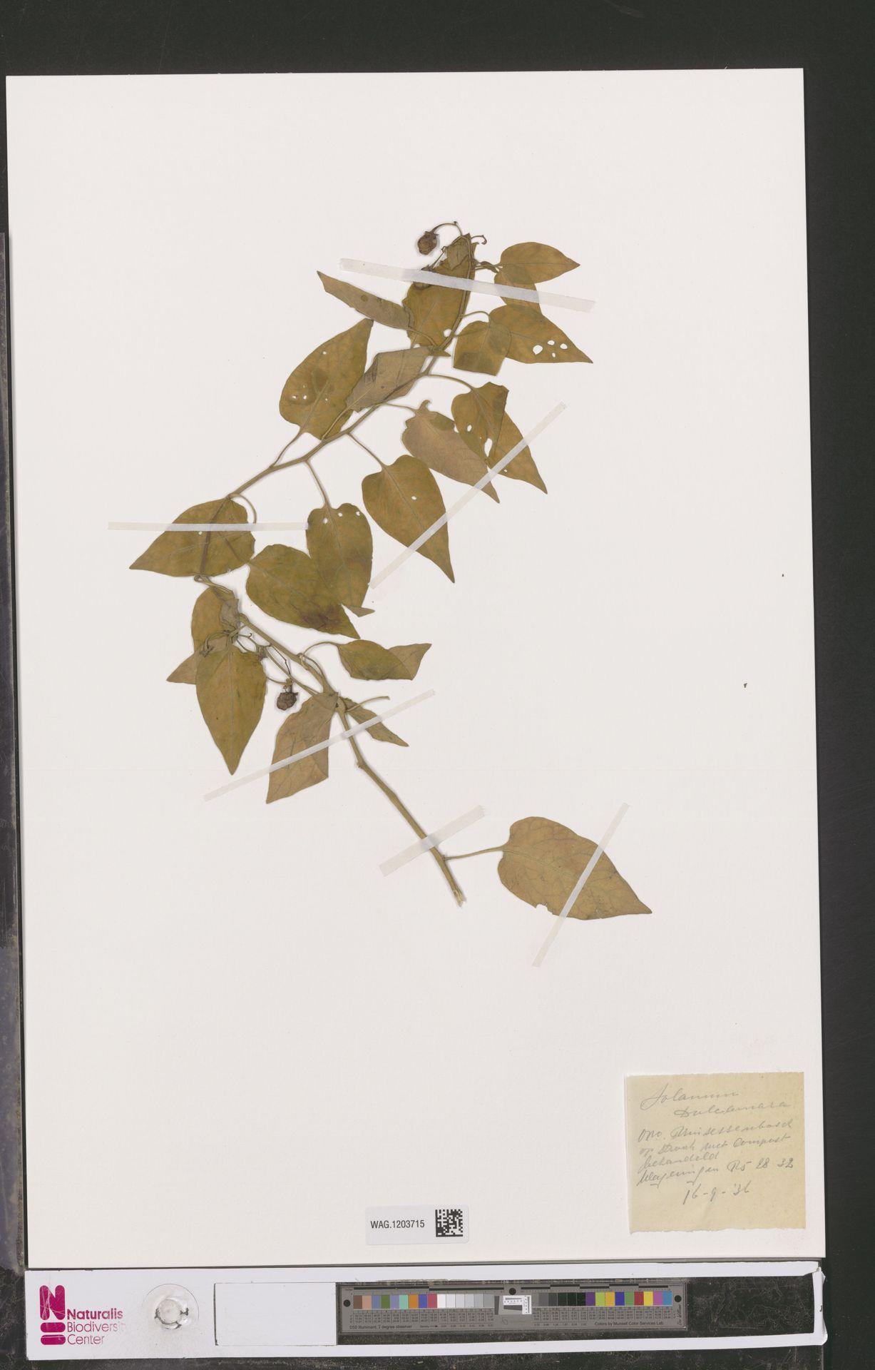 WAG.1203715 | Solanum dulcamara L.