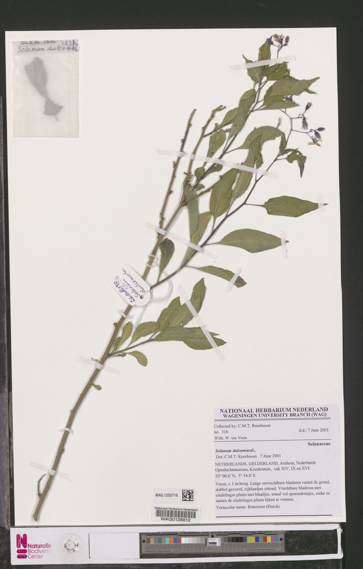 WAG.1203716 | Solanum dulcamara L.
