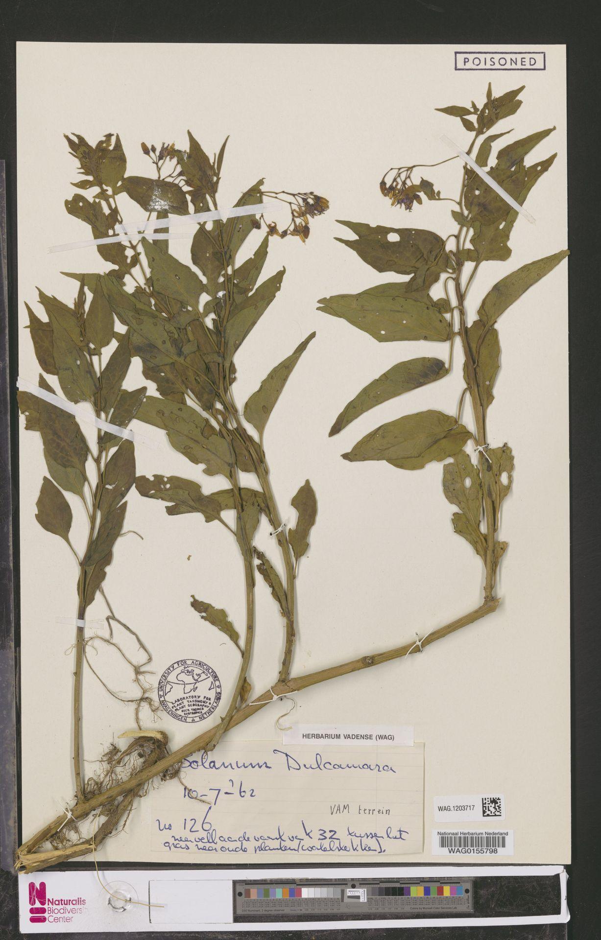 WAG.1203717 | Solanum dulcamara L.