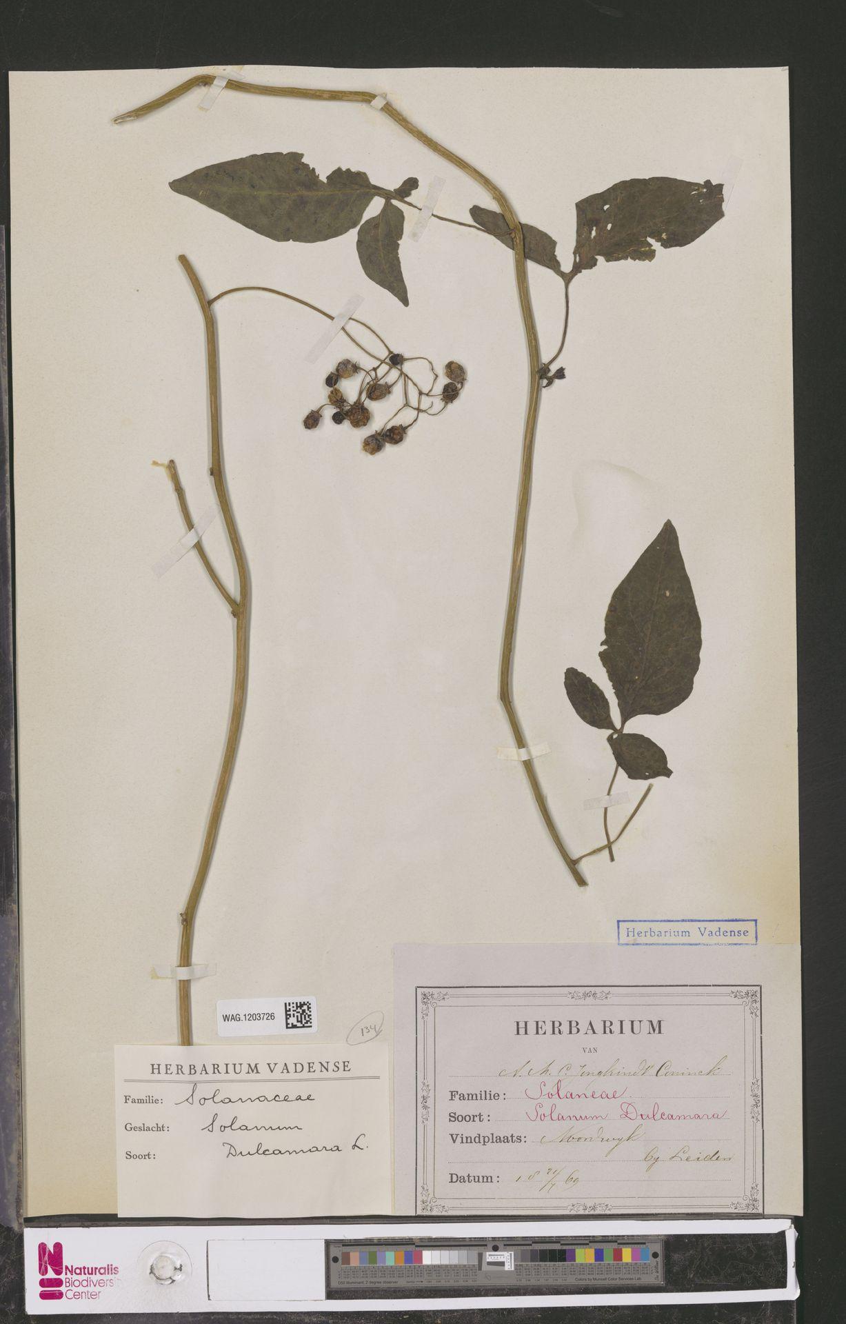 WAG.1203726 | Solanum dulcamara L.