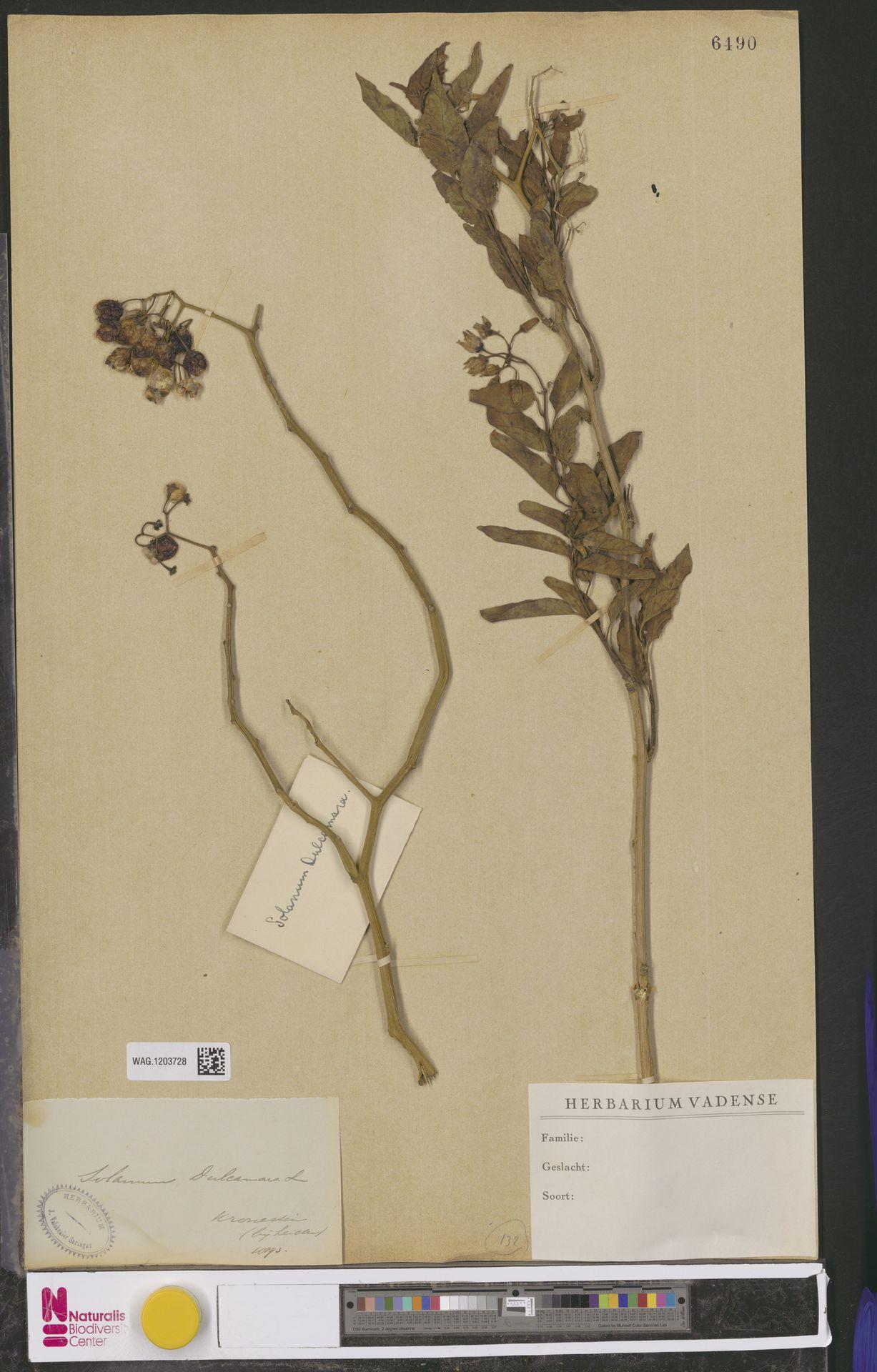 WAG.1203728 | Solanum dulcamara L.