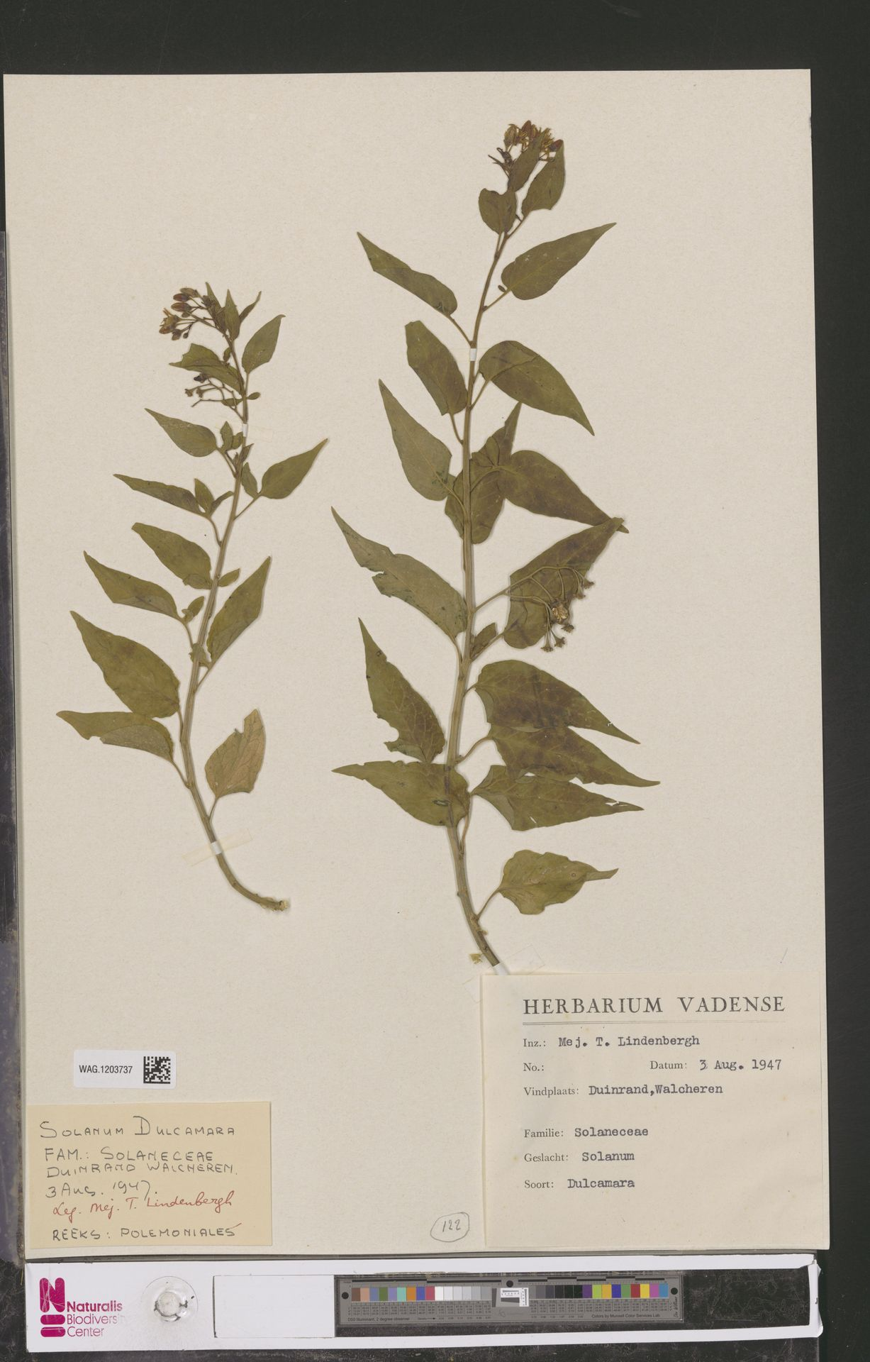 WAG.1203737   Solanum dulcamara L.