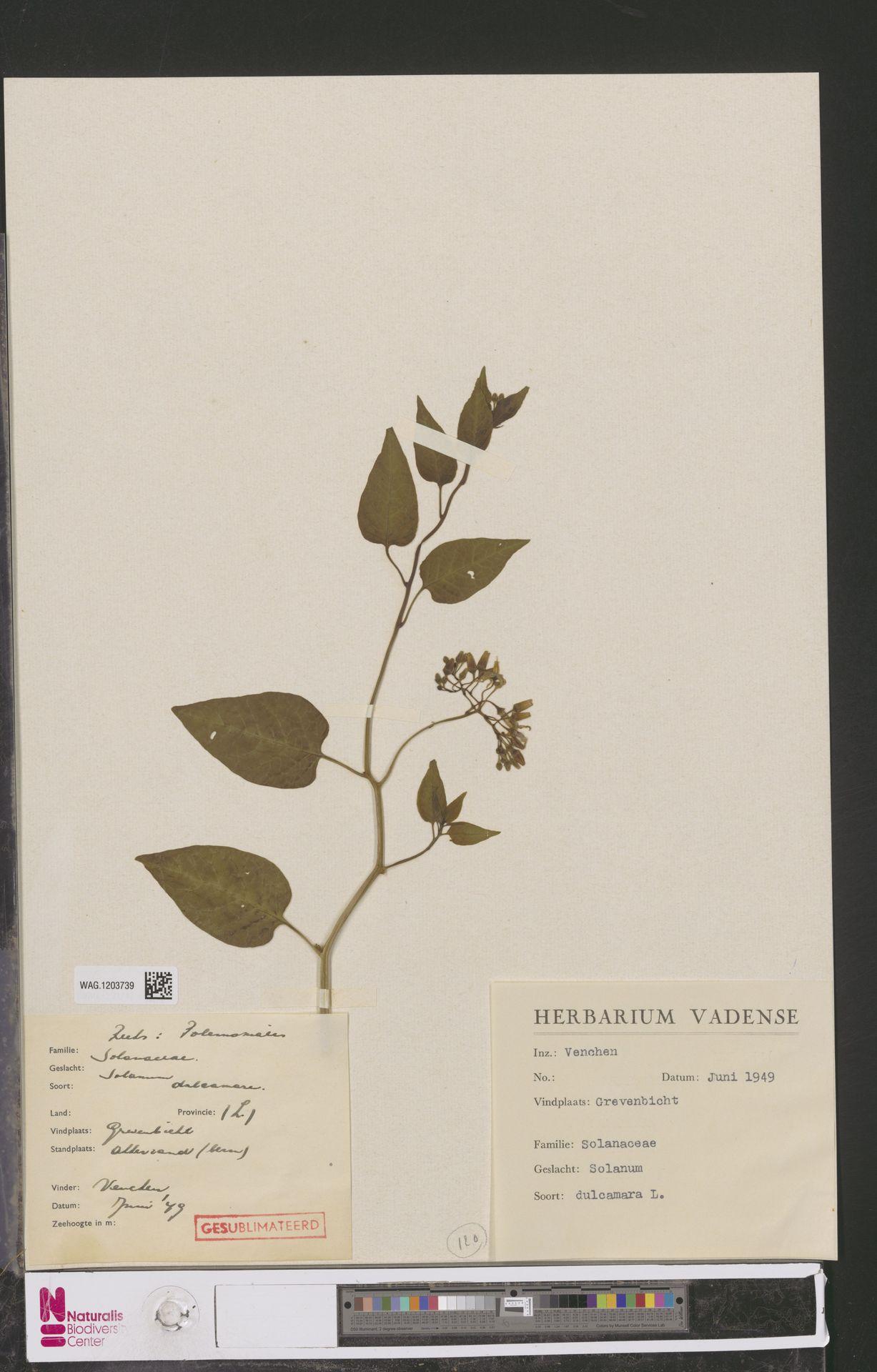 WAG.1203739 | Solanum dulcamara L.