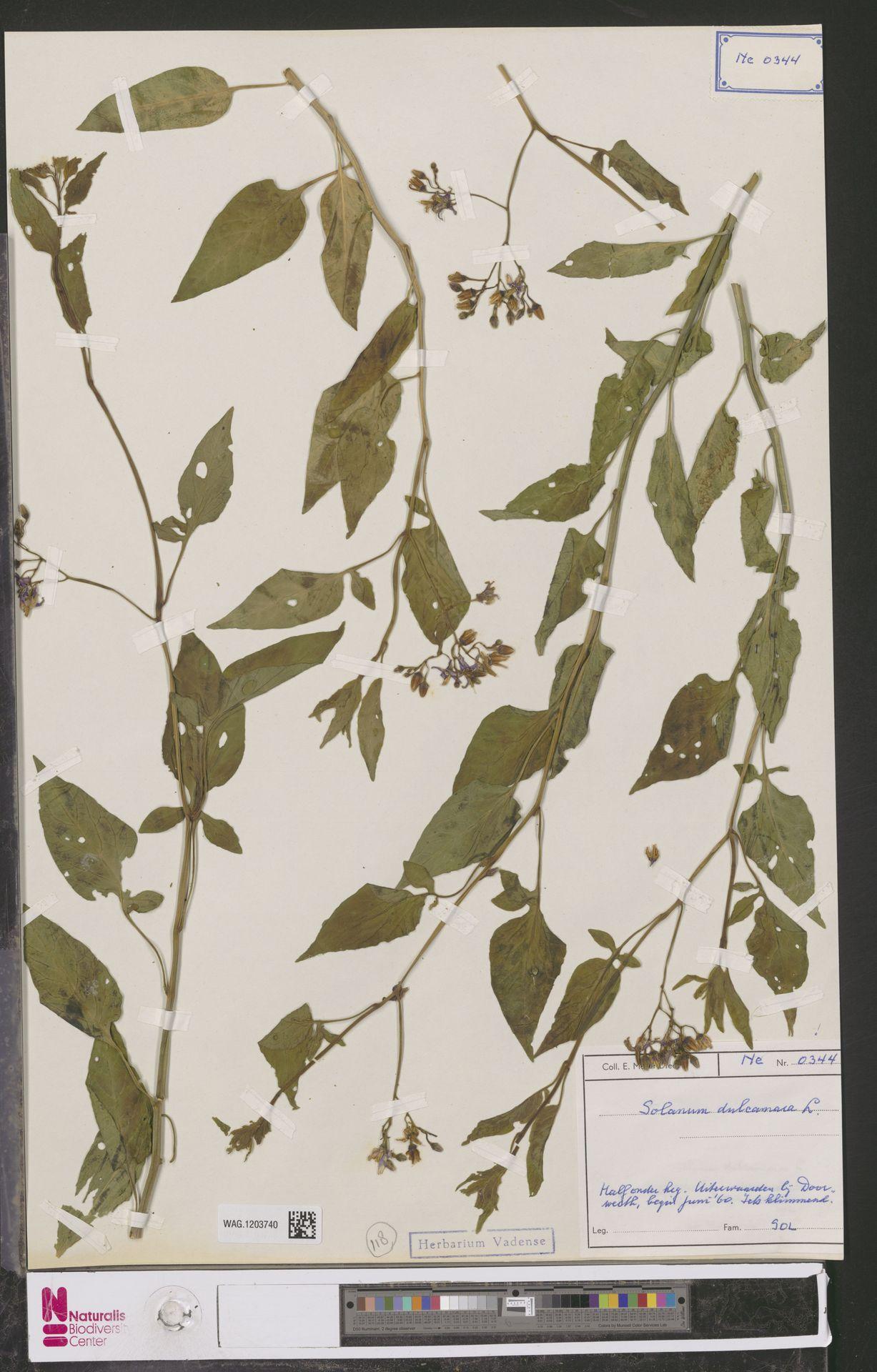 WAG.1203740 | Solanum dulcamara L.