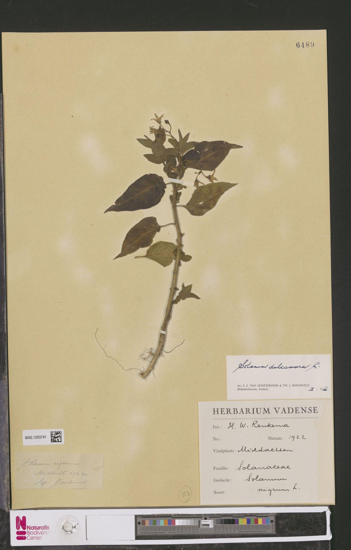 WAG.1203741 | Solanum dulcamara L.