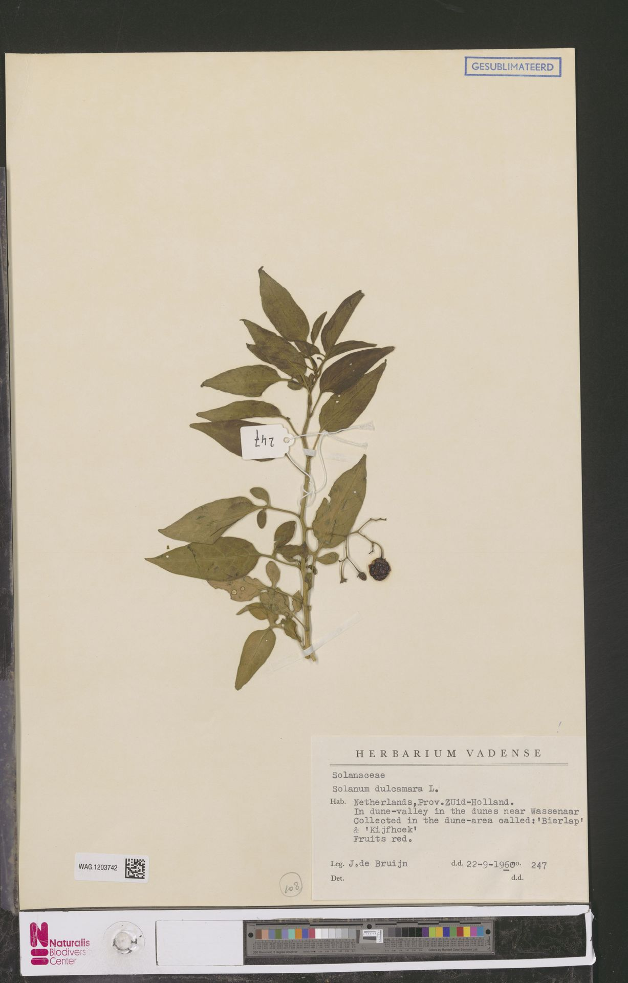 WAG.1203742   Solanum dulcamara L.