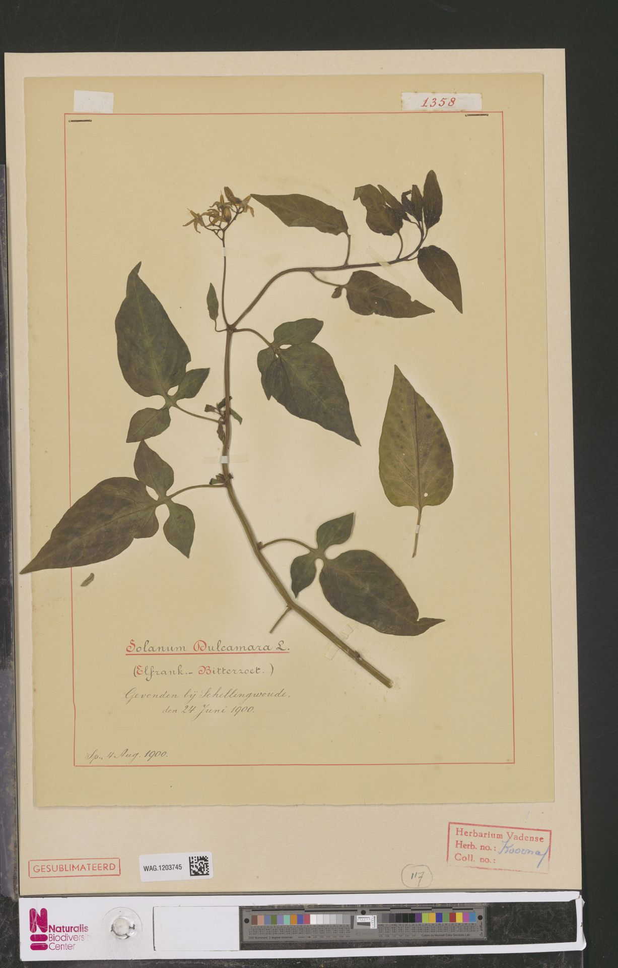 WAG.1203745 | Solanum dulcamara L.