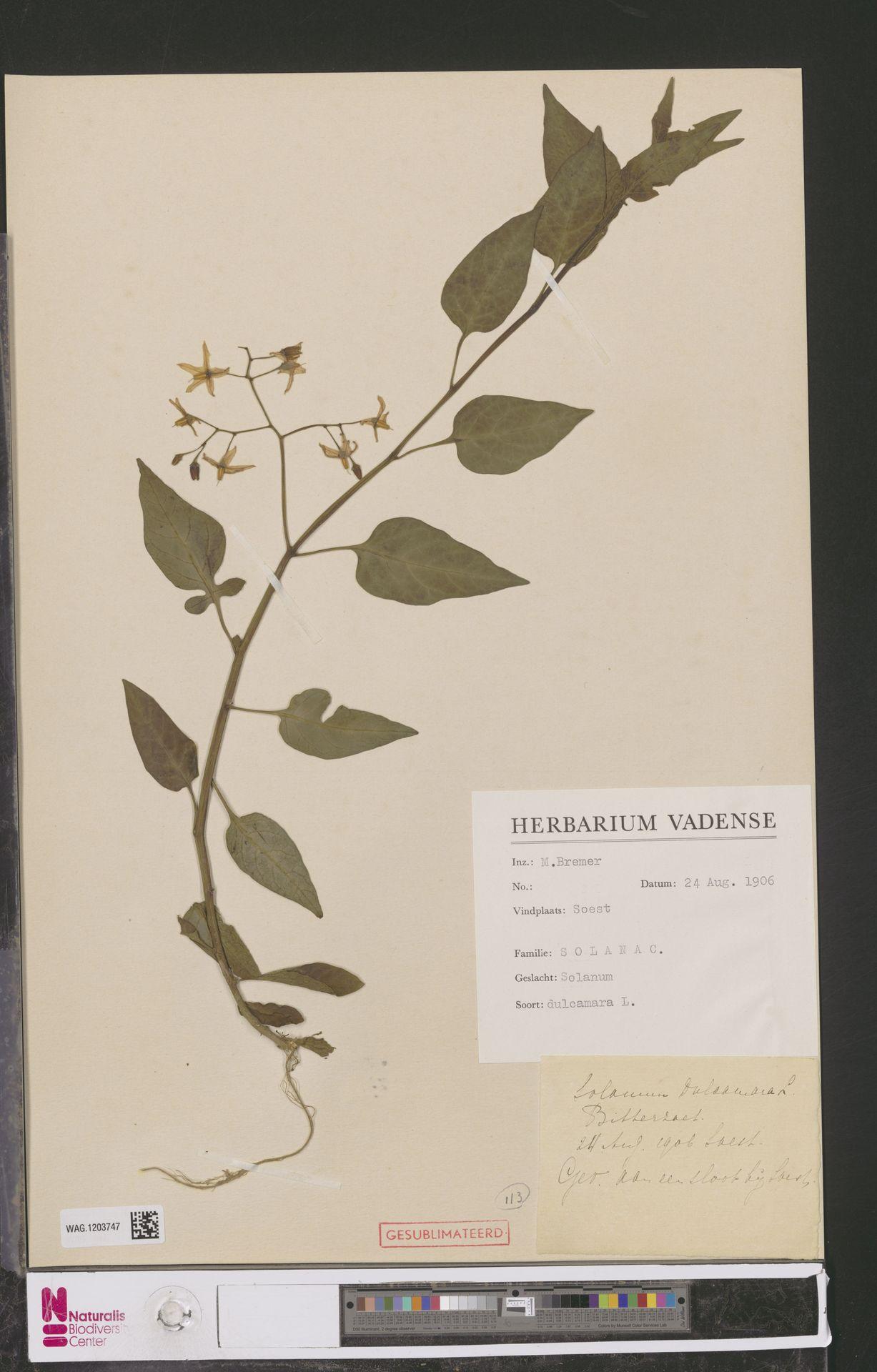 WAG.1203747 | Solanum dulcamara L.