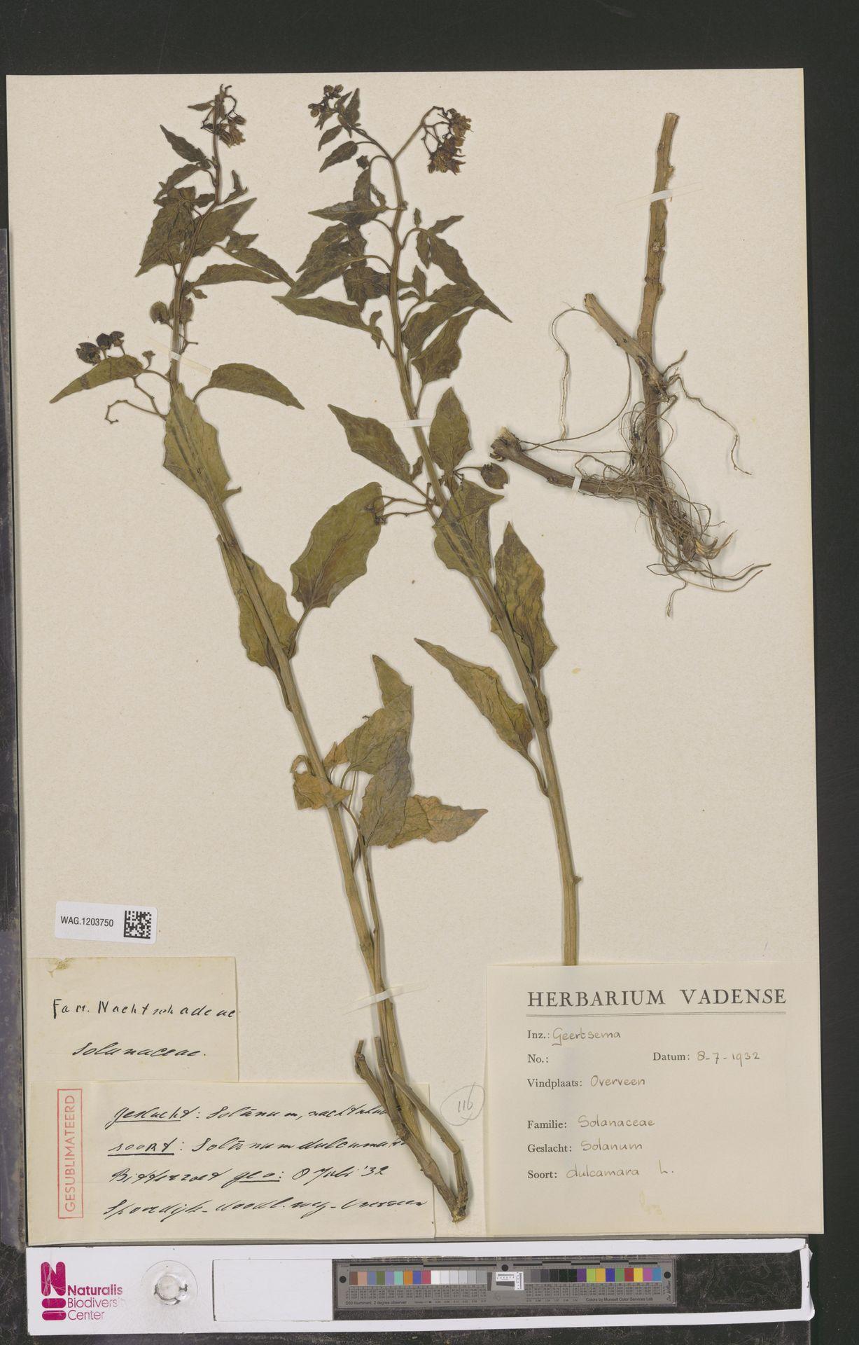 WAG.1203750 | Solanum dulcamara L.