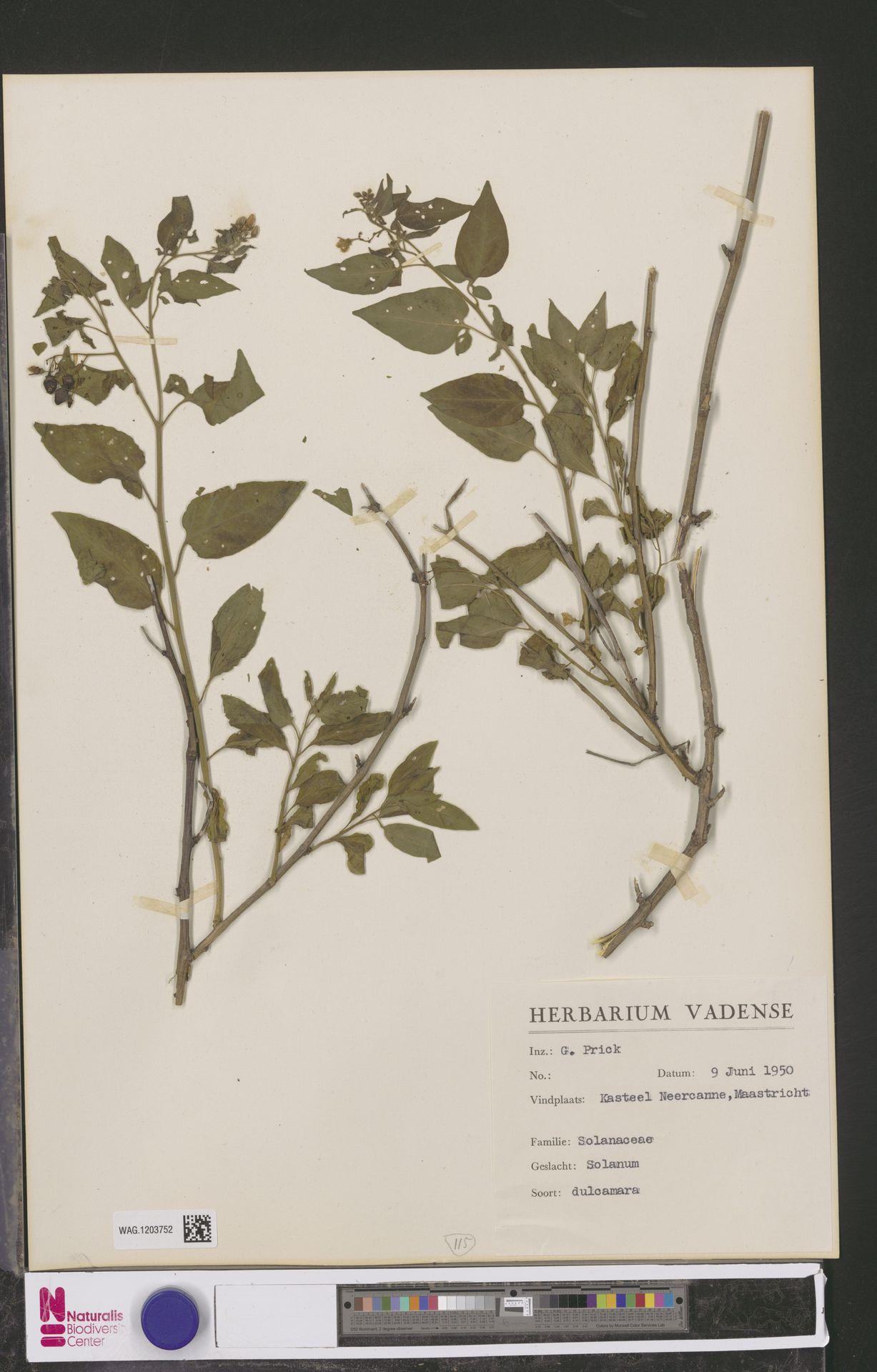 WAG.1203752 | Solanum dulcamara L.