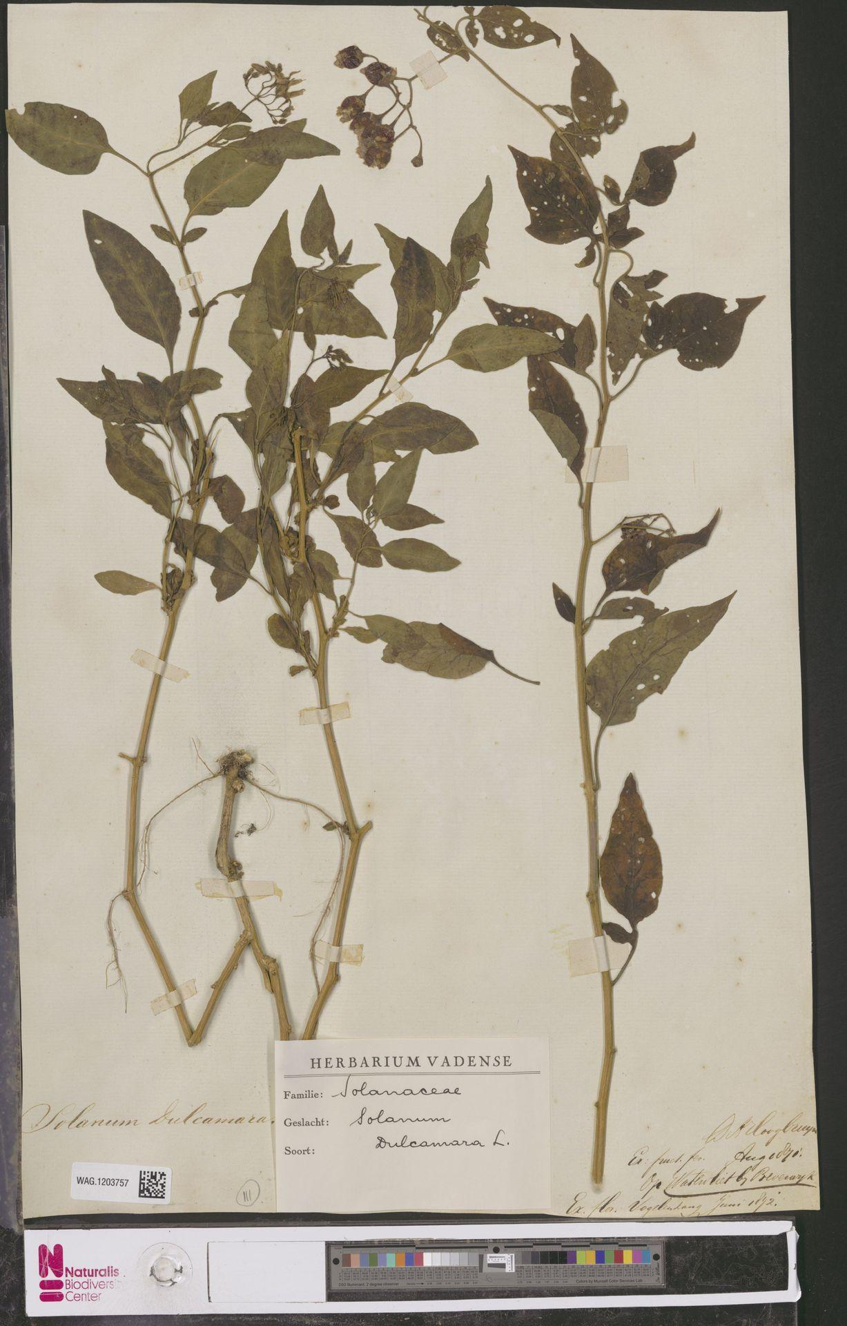 WAG.1203757 | Solanum dulcamara L.