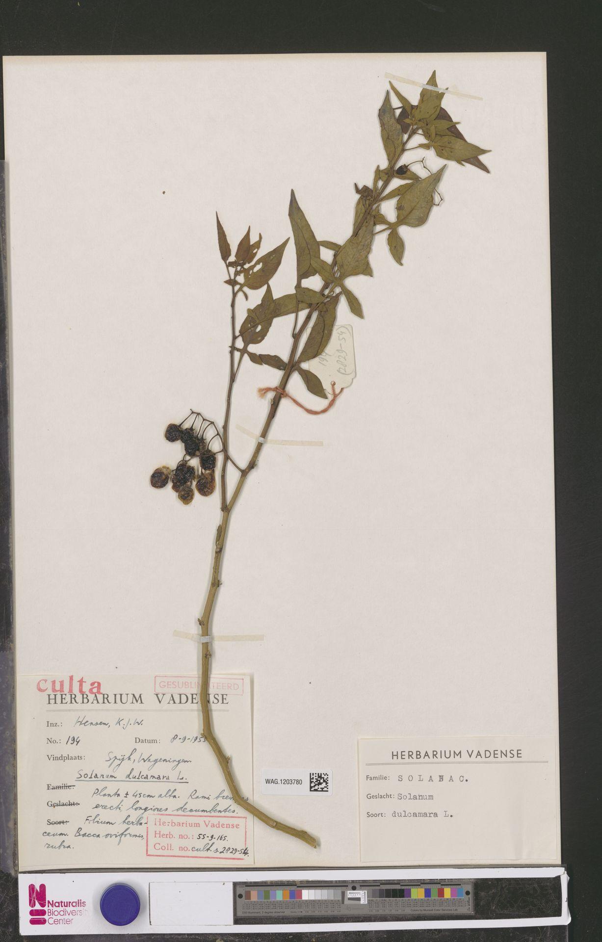 WAG.1203780 | Solanum dulcamara L.