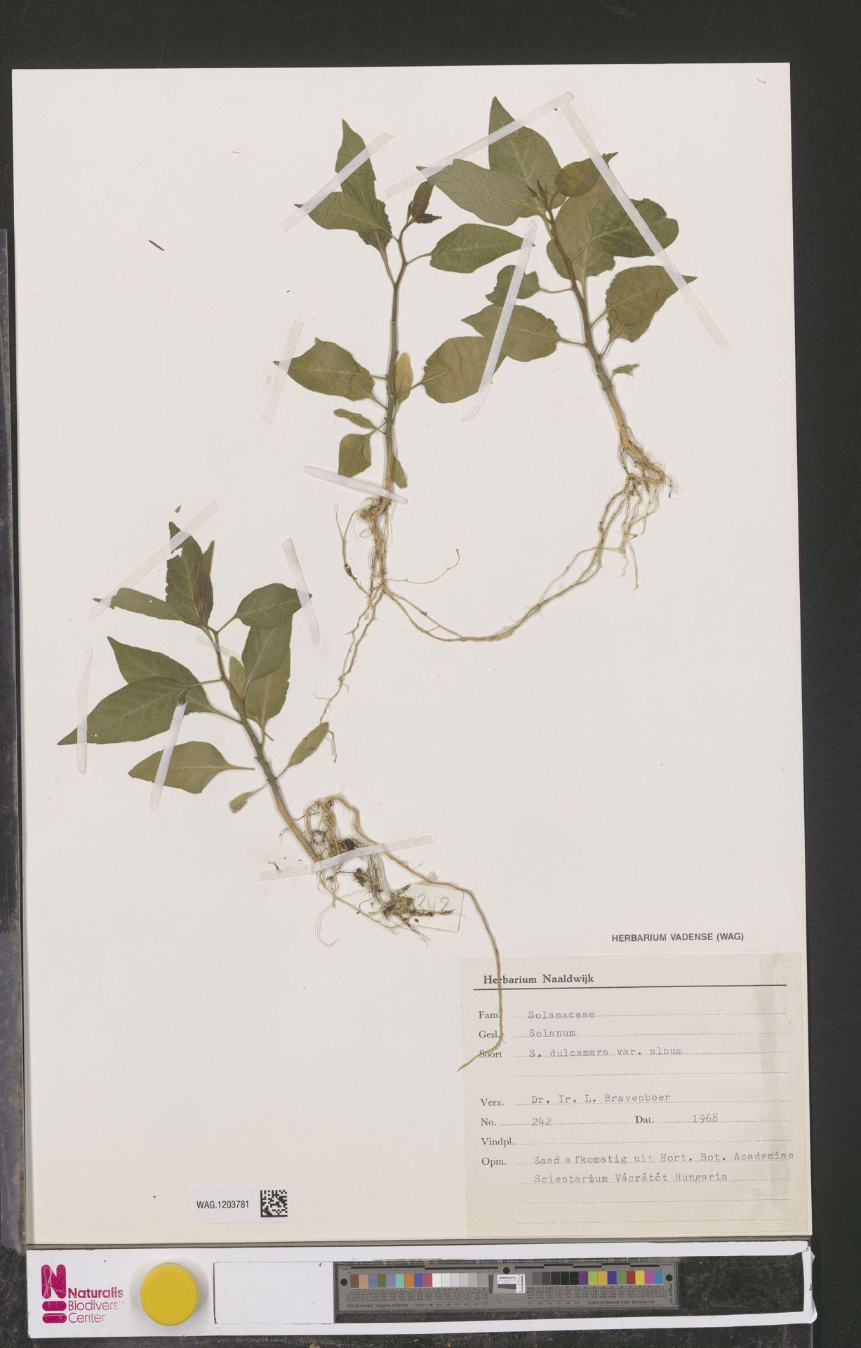 WAG.1203781 | Solanum dulcamara L.