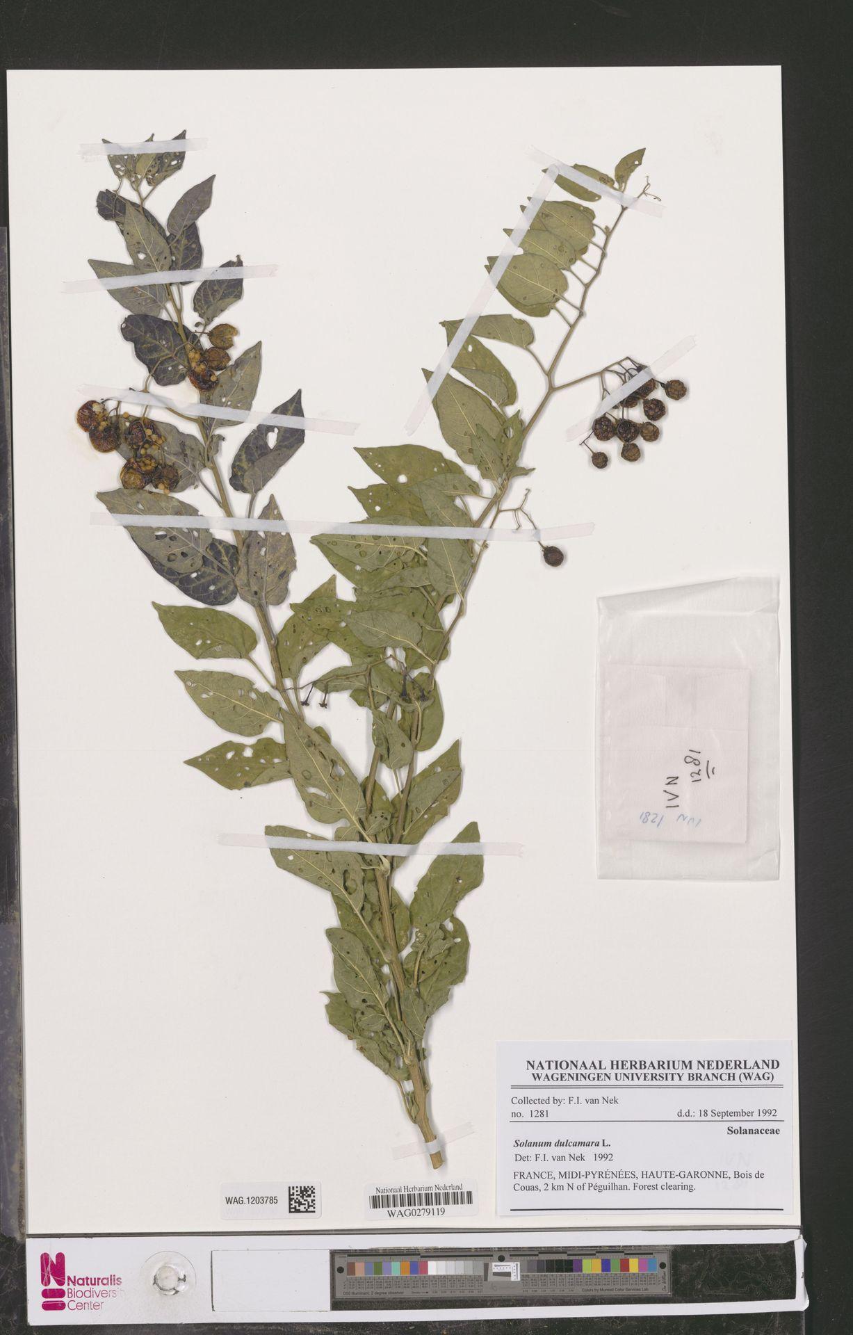 WAG.1203785 | Solanum dulcamara L.