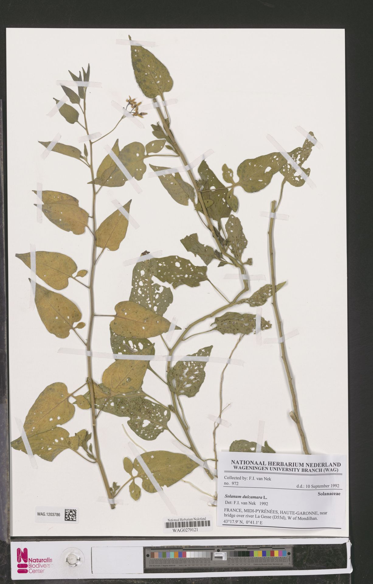 WAG.1203786   Solanum dulcamara L.