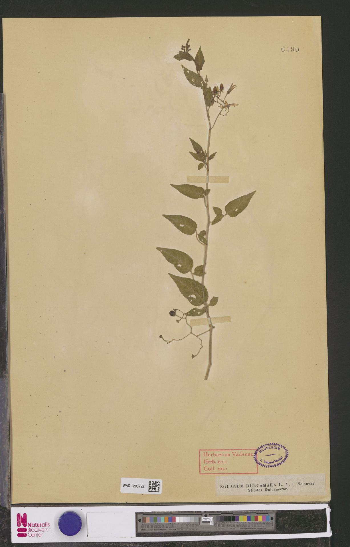 WAG.1203792 | Solanum dulcamara L.