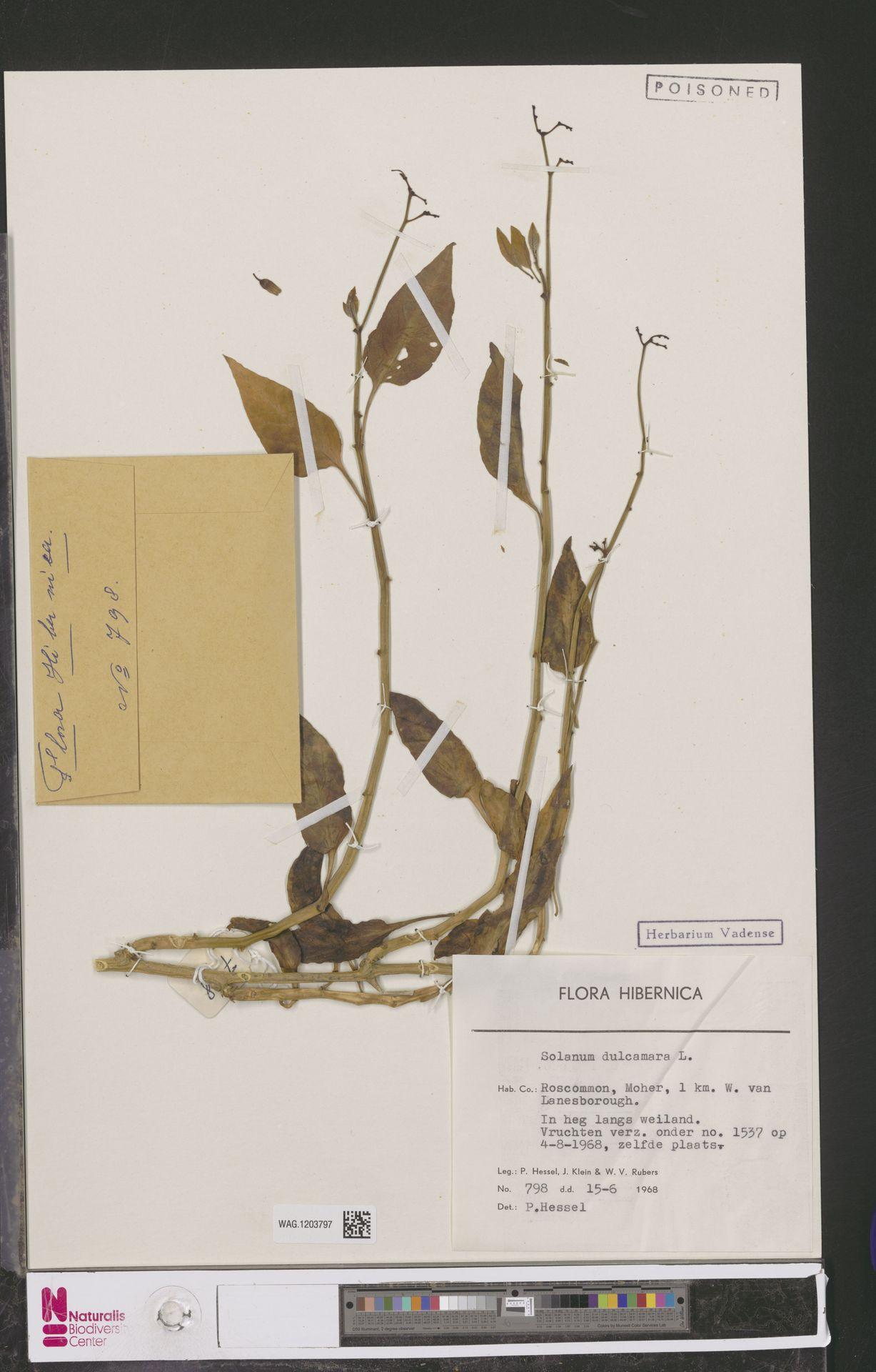 WAG.1203797 | Solanum dulcamara L.