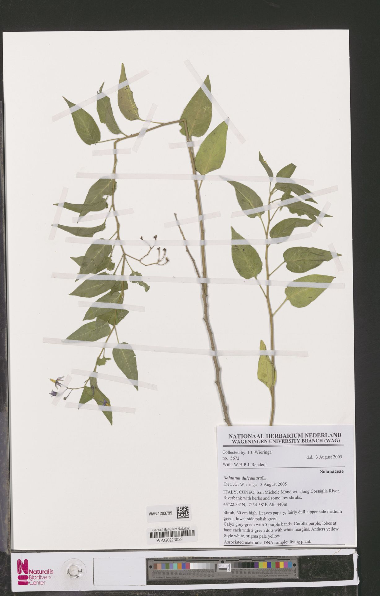 WAG.1203799 | Solanum dulcamara L.
