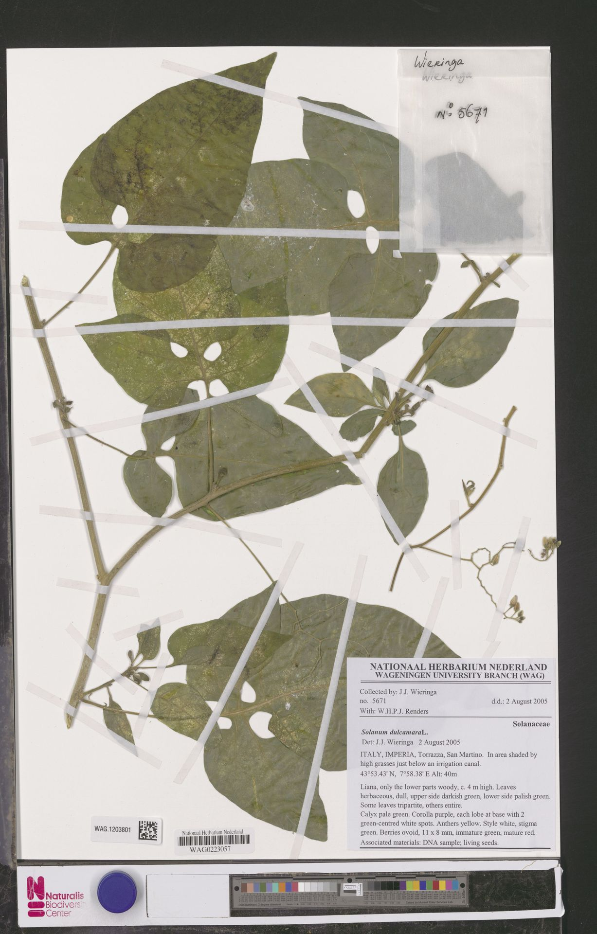 WAG.1203801 | Solanum dulcamara L.