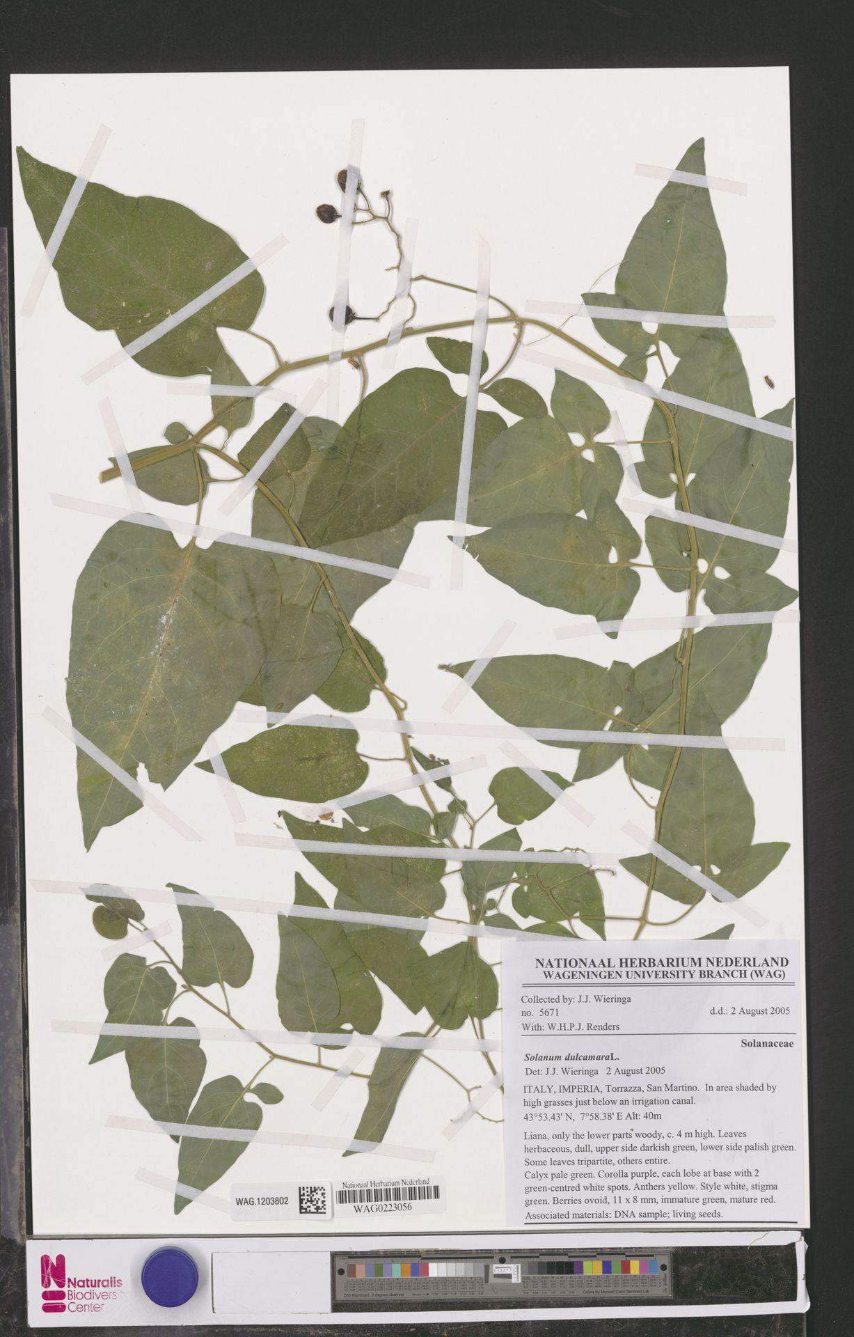 WAG.1203802 | Solanum dulcamara L.