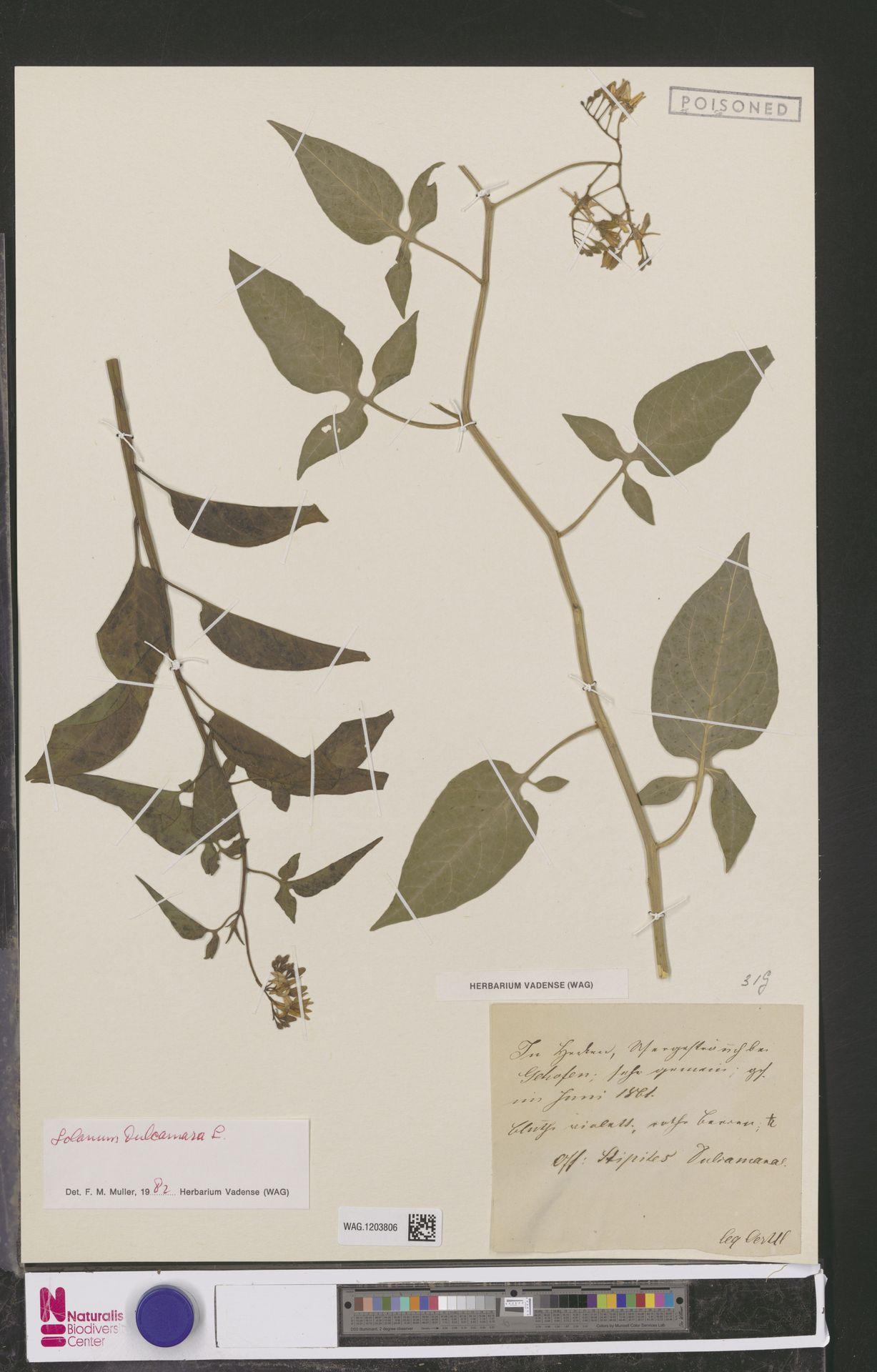 WAG.1203806   Solanum dulcamara L.