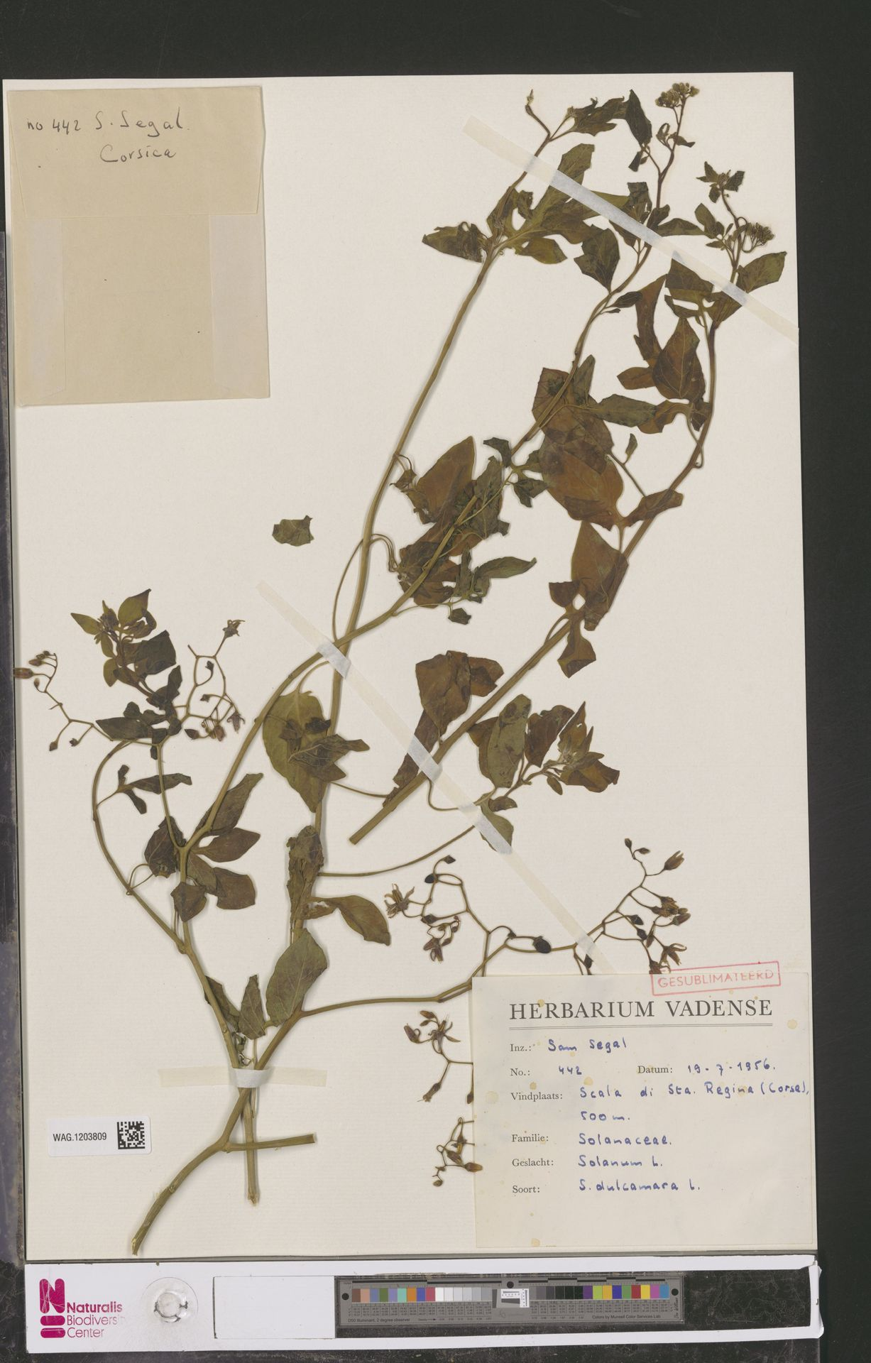 WAG.1203809 | Solanum dulcamara L.