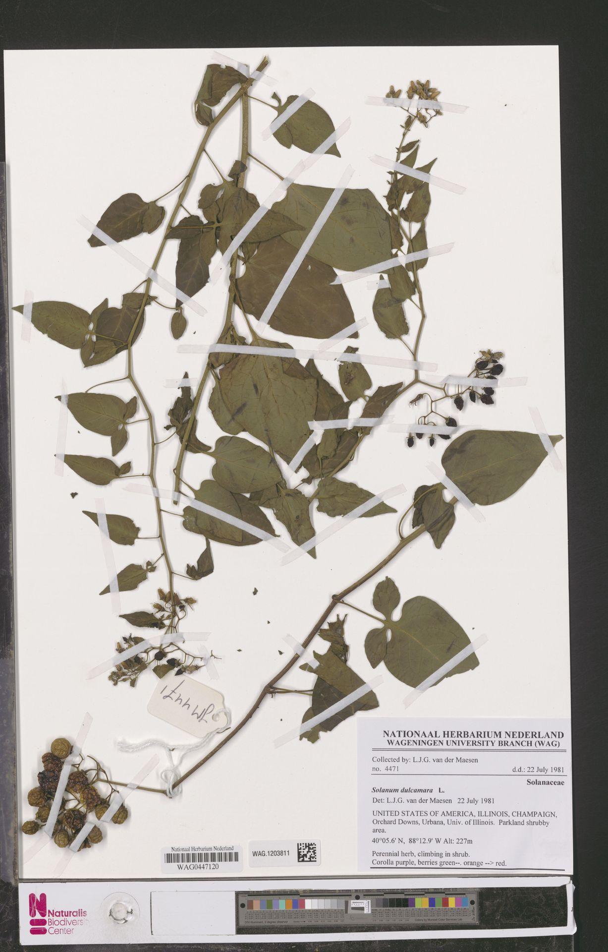 WAG.1203811   Solanum dulcamara L.