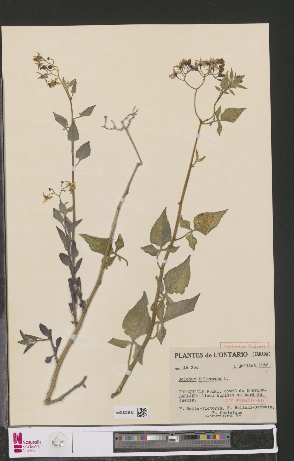 WAG.1203812 | Solanum dulcamara L.