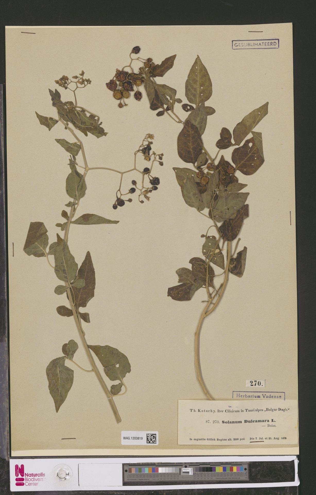 WAG.1203819   Solanum dulcamara L.