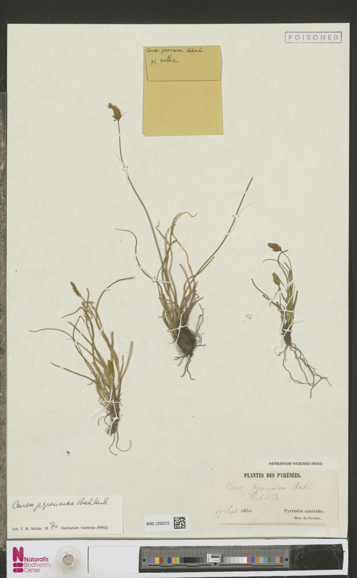 WAG.1205315 | Carex pyrenaica Wahlenb.