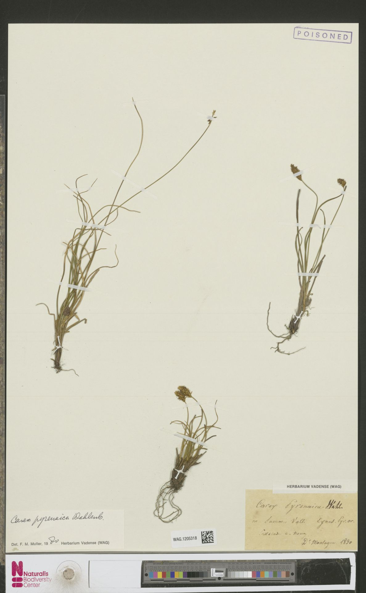 WAG.1205318   Carex pyrenaica Wahlenb.