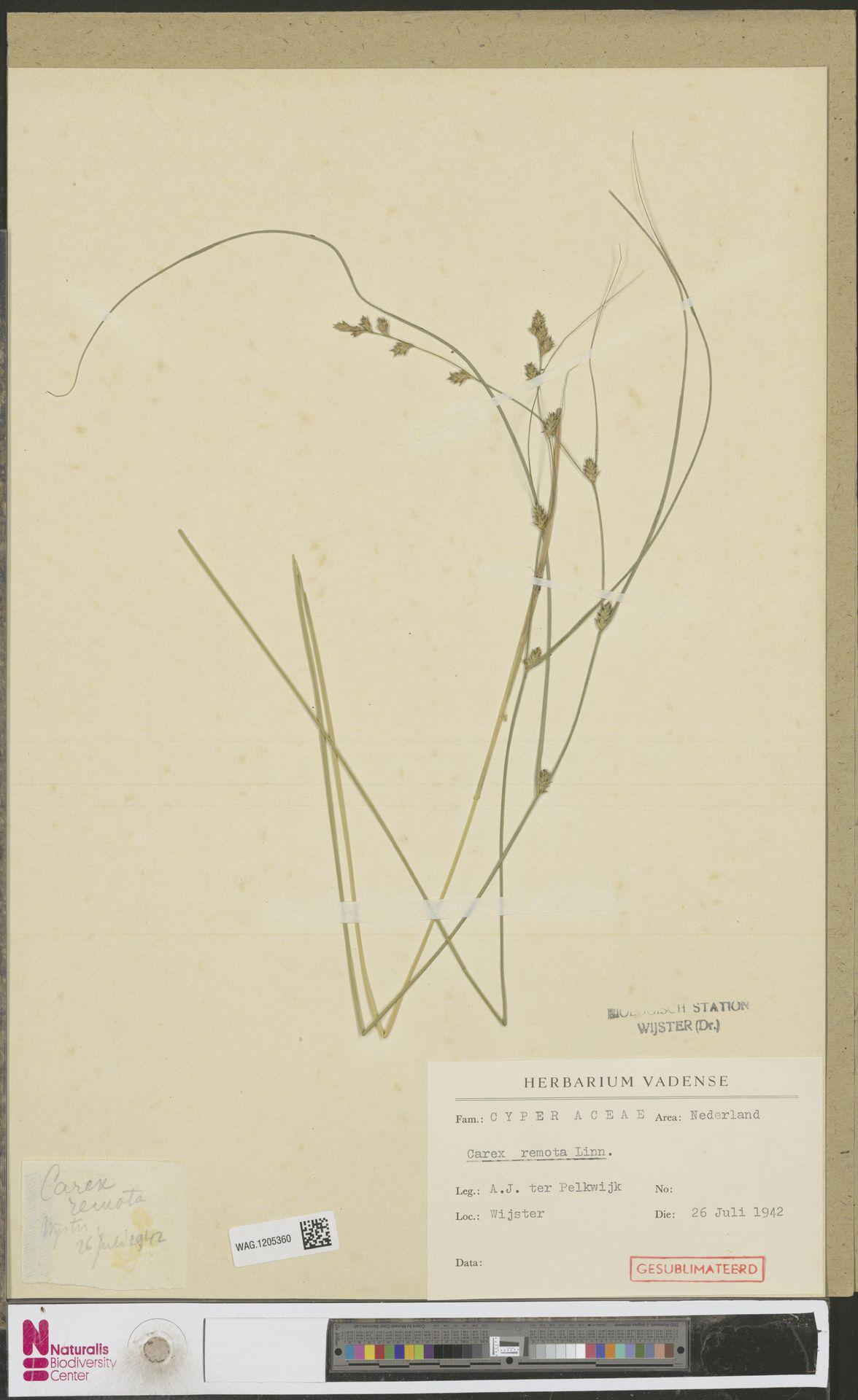 WAG.1205360 | Carex remota L.