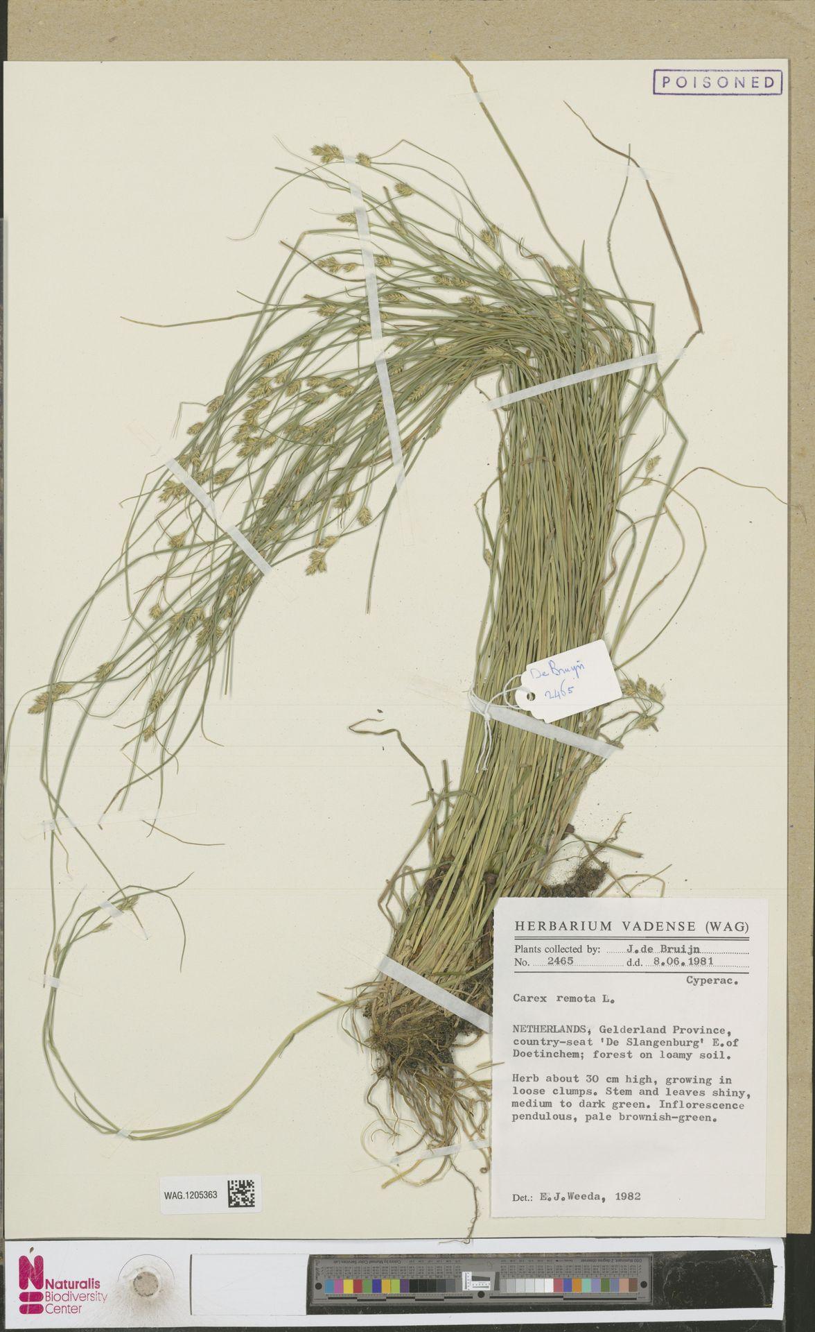 WAG.1205363 | Carex remota L.