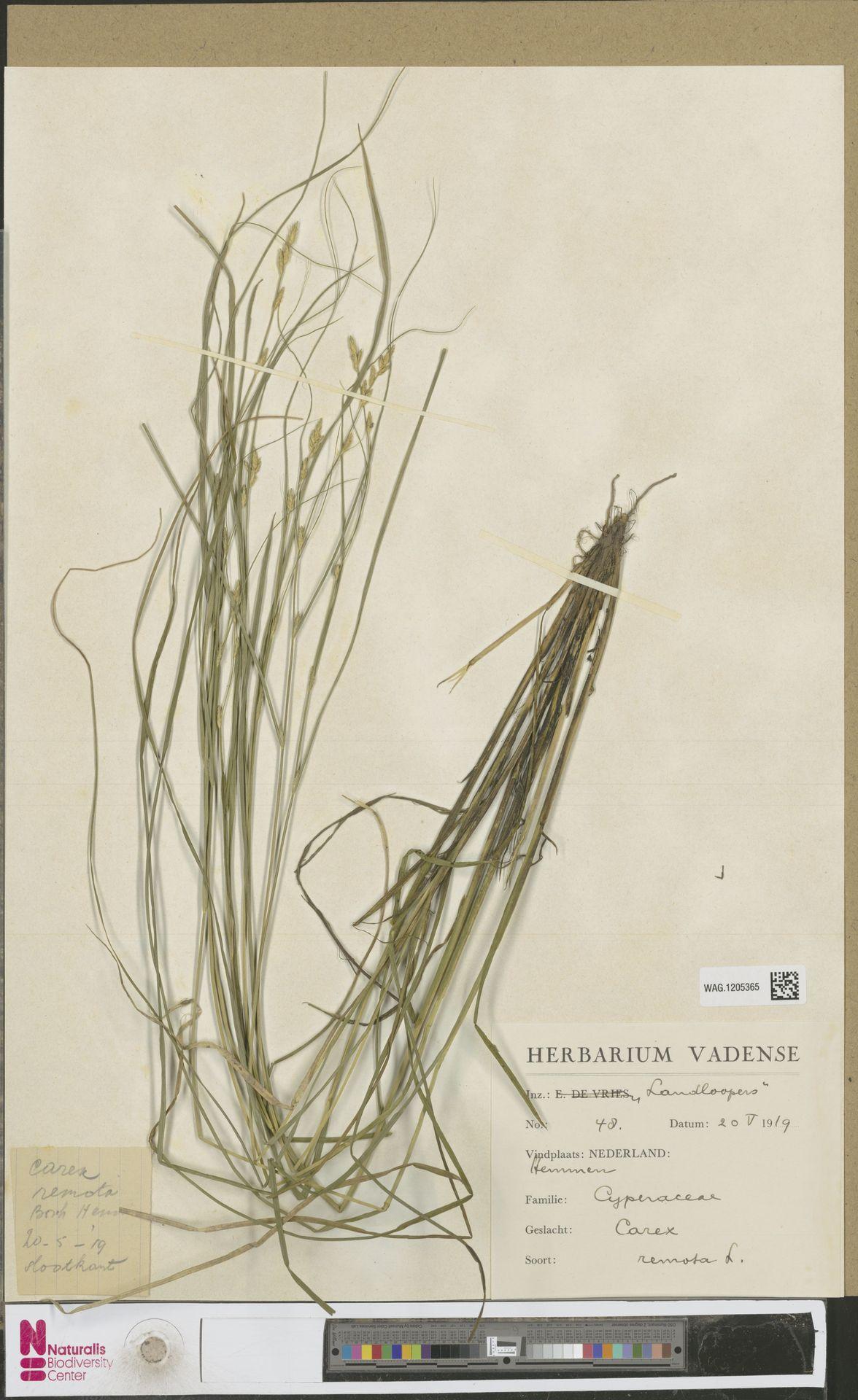 WAG.1205365 | Carex remota L.