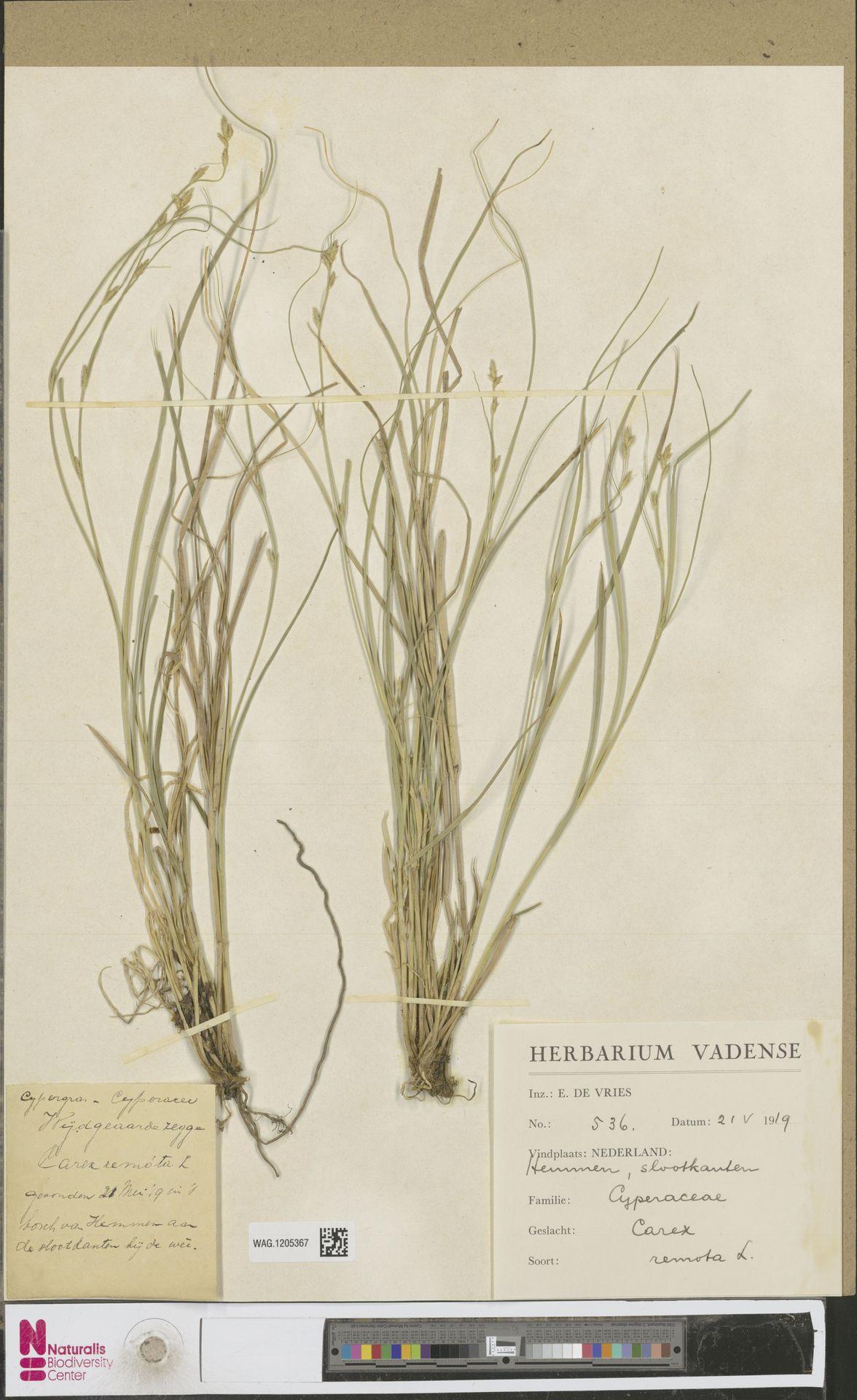 WAG.1205367 | Carex remota L.