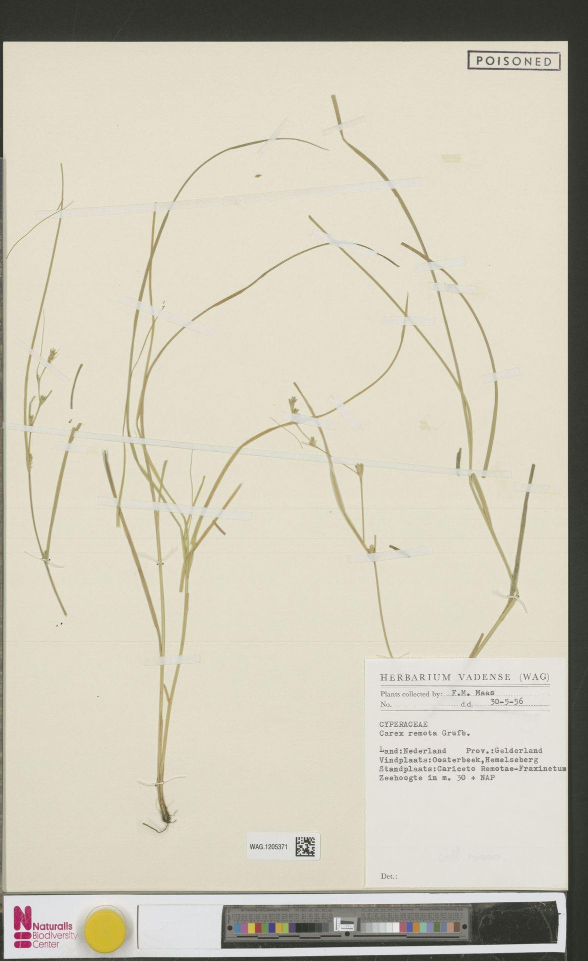 WAG.1205371 | Carex remota L.