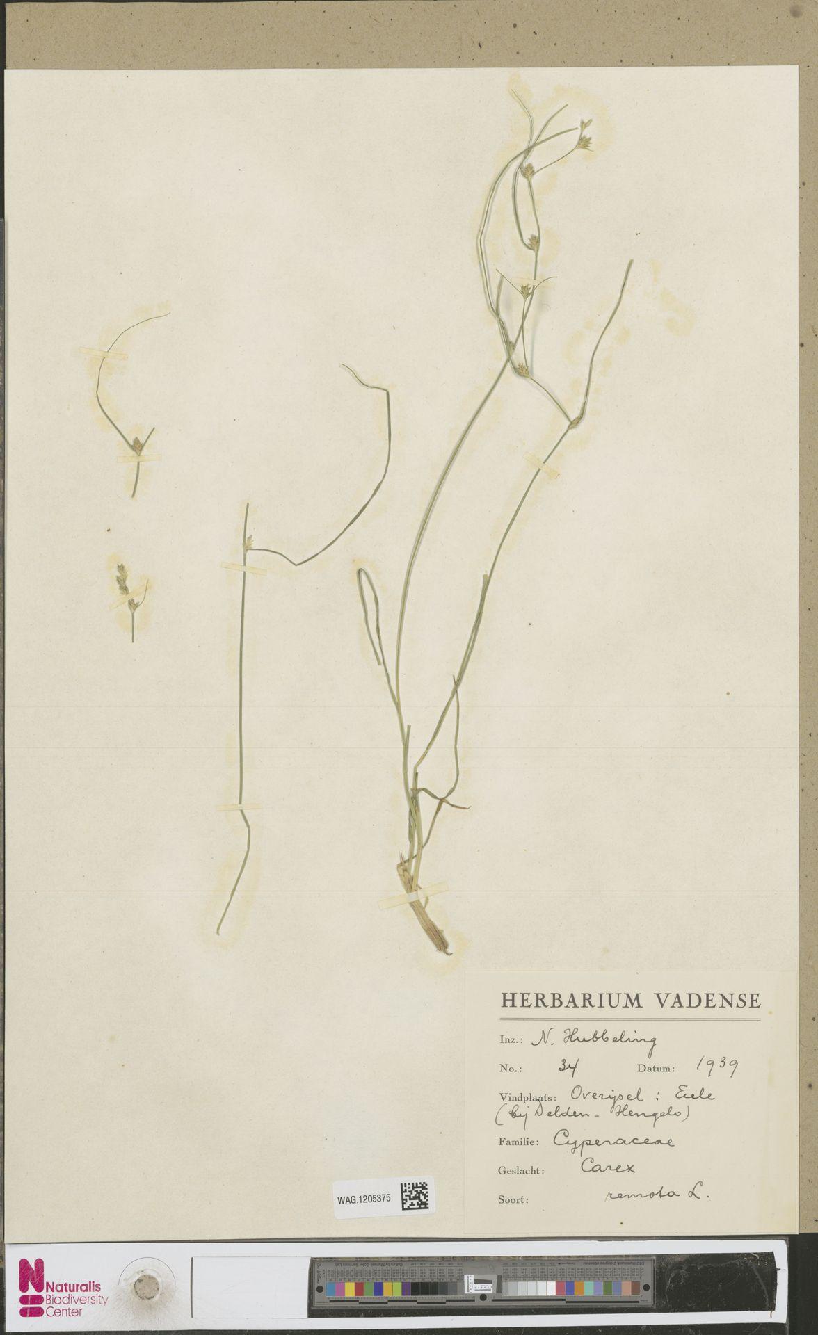WAG.1205375 | Carex remota L.