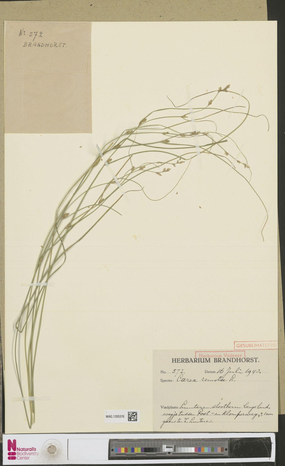 WAG.1205376 | Carex remota L.