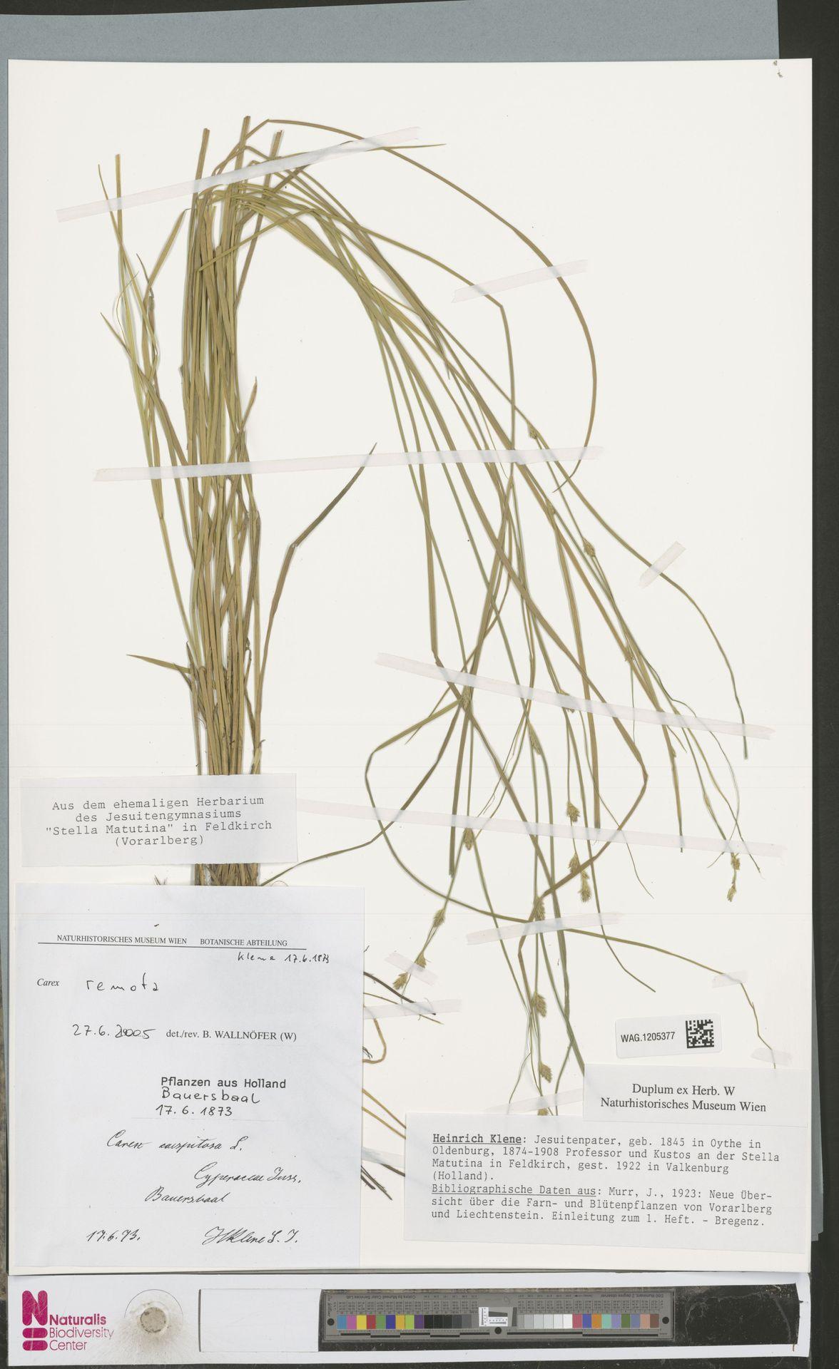 WAG.1205377   Carex remota L.