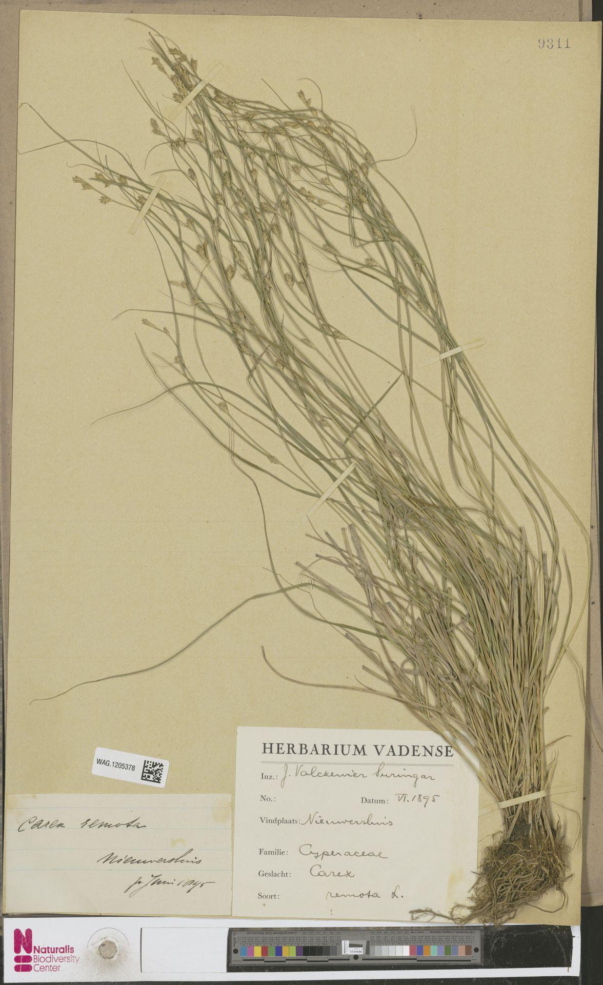 WAG.1205378 | Carex remota L.