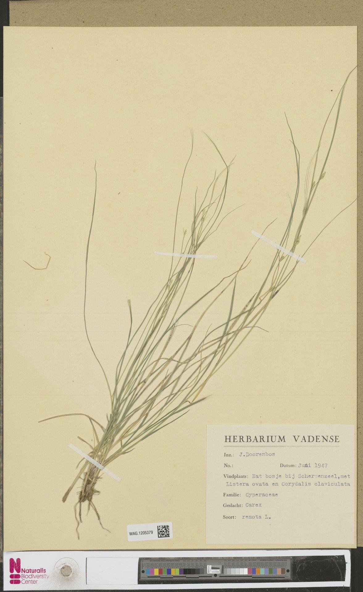 WAG.1205379 | Carex remota L.