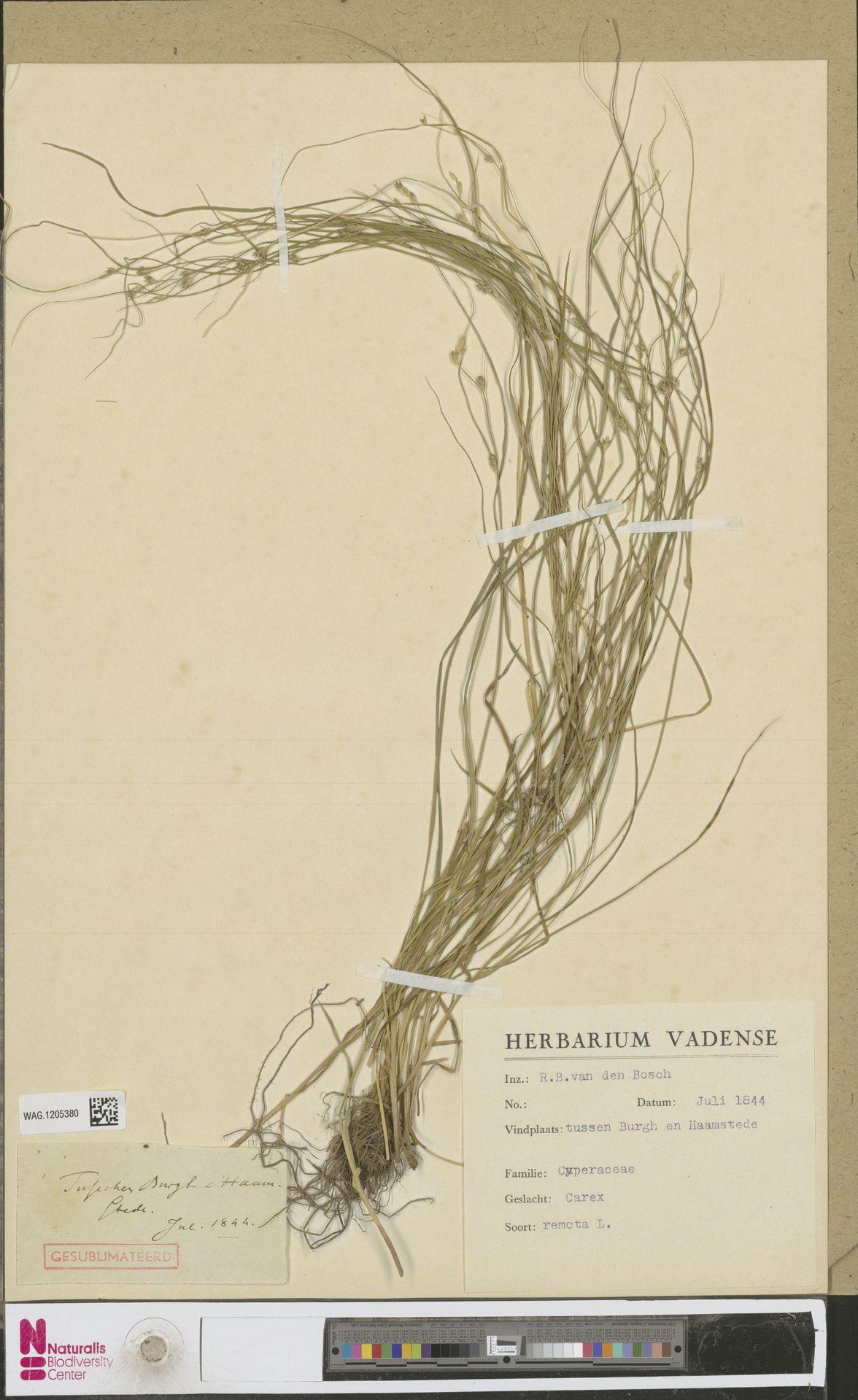 WAG.1205380 | Carex remota L.