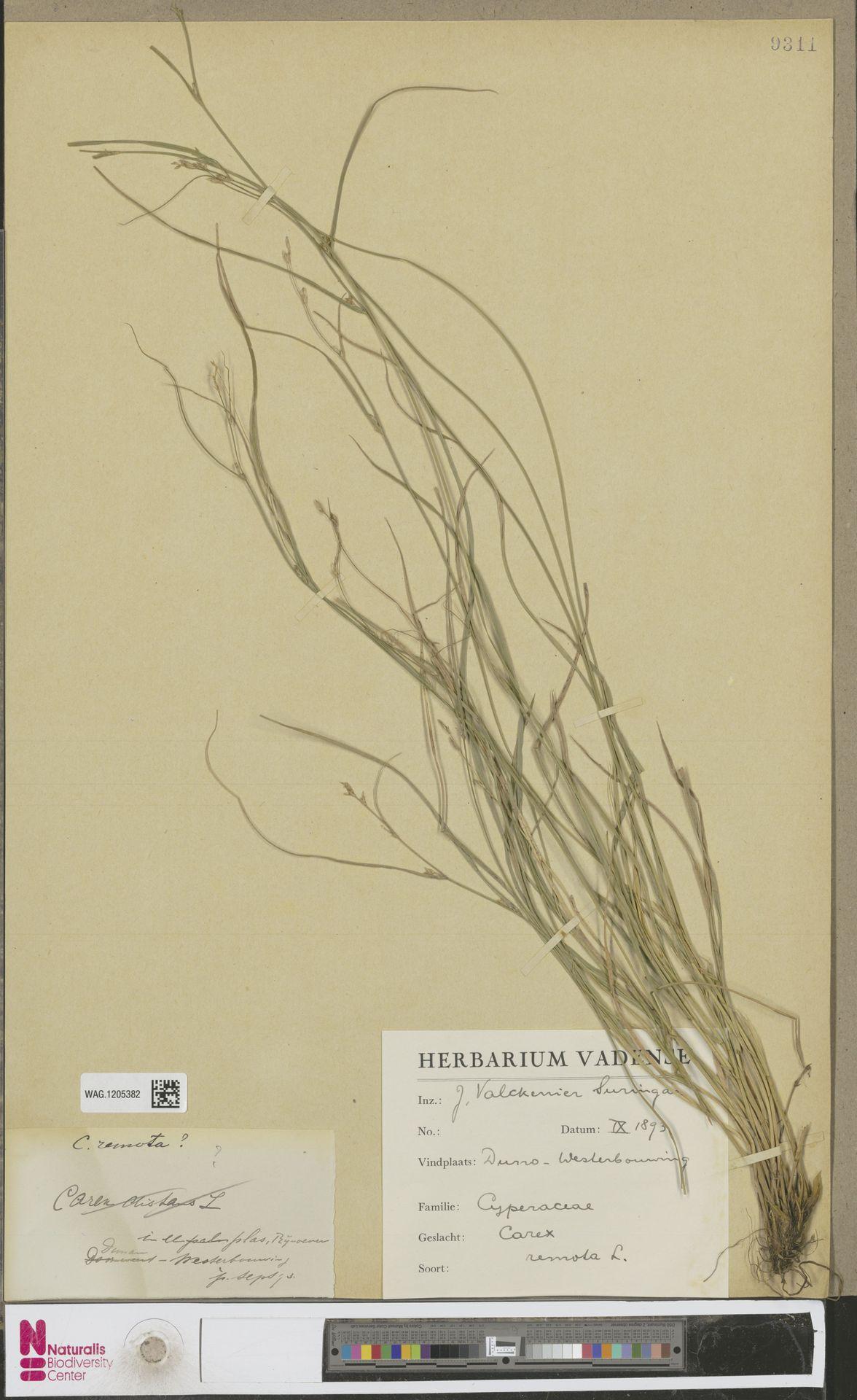 WAG.1205382 | Carex remota L.