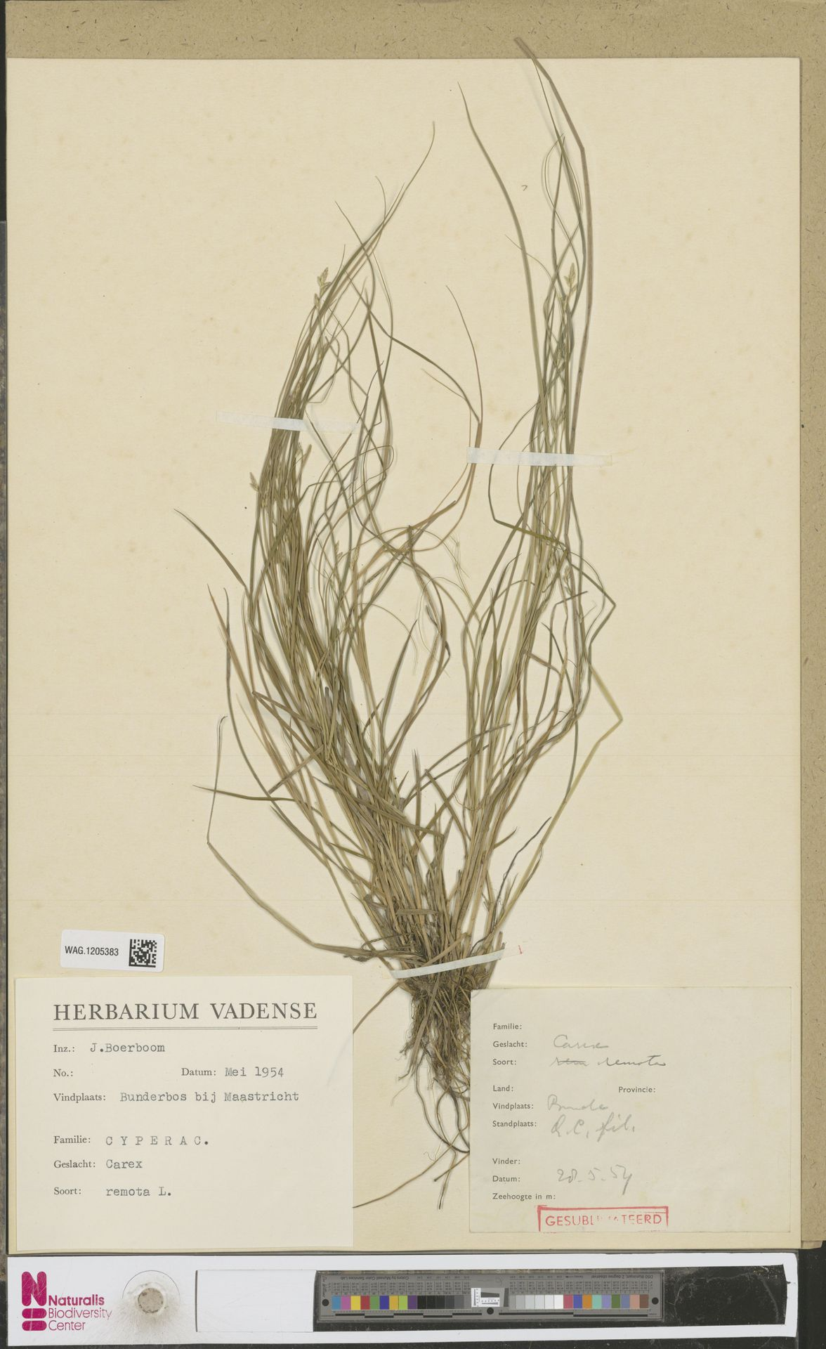 WAG.1205383 | Carex remota L.