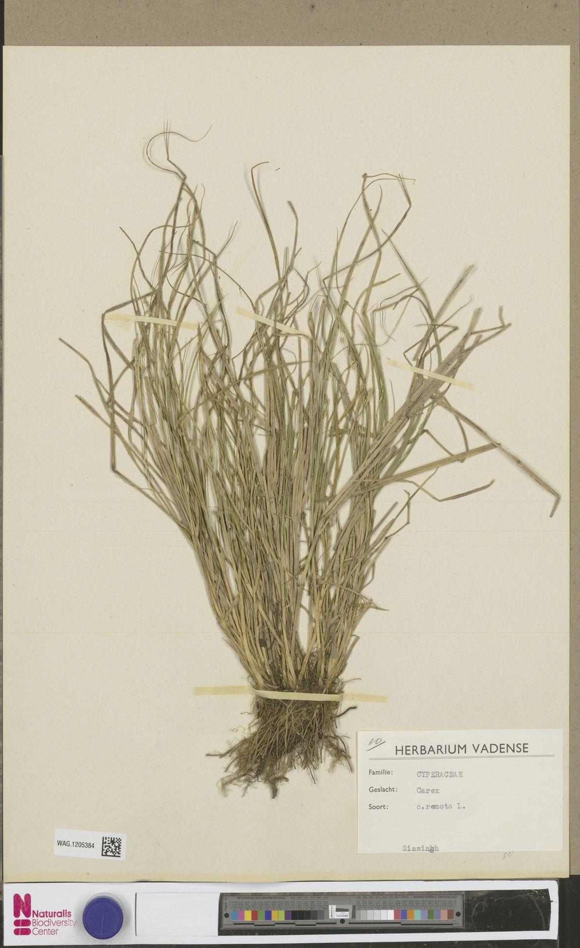 WAG.1205384 | Carex remota L.