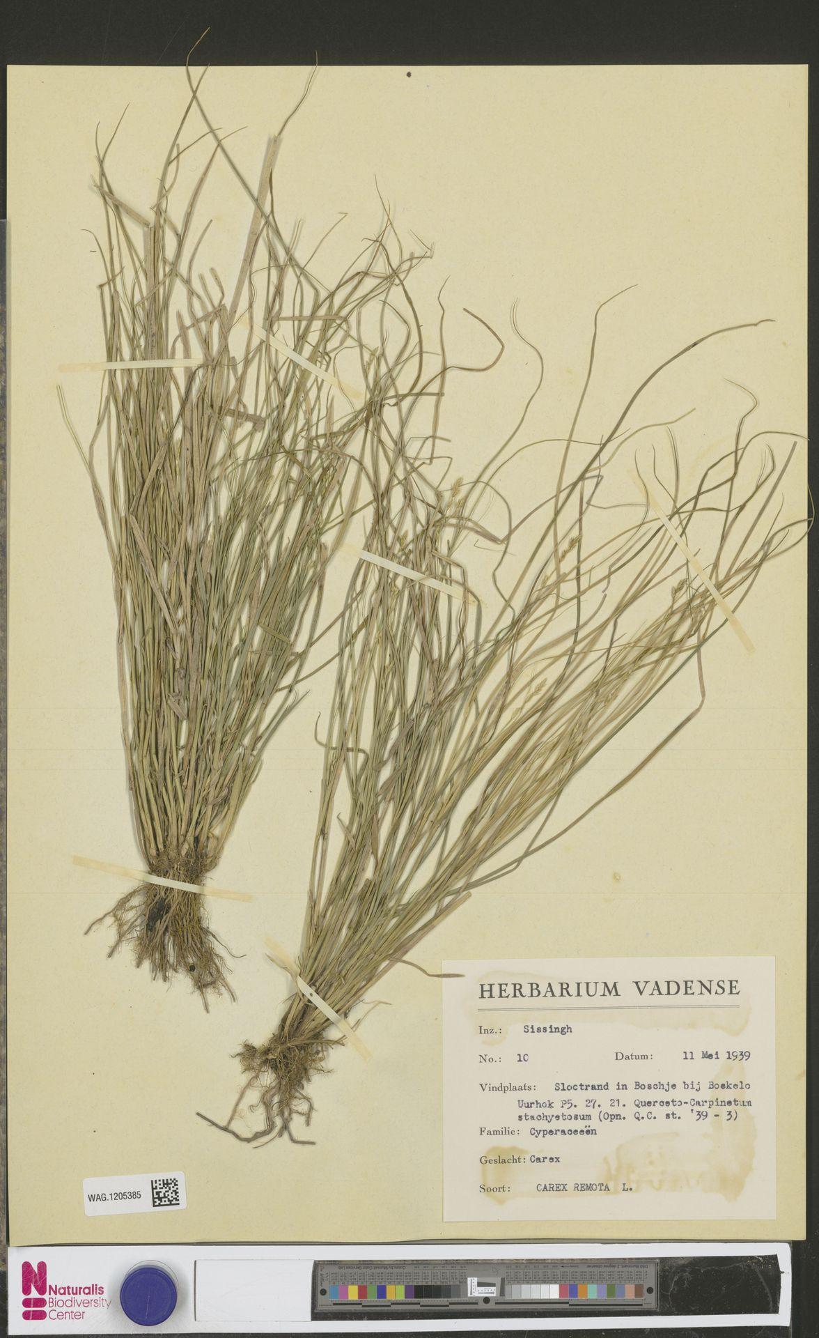 WAG.1205385 | Carex remota L.